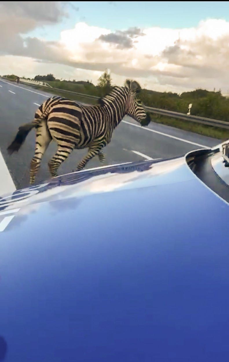A zebra walks next to a police car on the A20 motorway on October 2, 2019 near the village of Tessin, north-eastern Germany, after the animal had broken out of a circus with a fellow animal, and had caused an accident on in the area. The motorway had to be blocked for a while. The other zebra had already been captured., Image: 474782665, License: Rights-managed, Restrictions: Germany OUT, Model Release: no, Credit line: Tilo WALLRODT / AFP / Profimedia