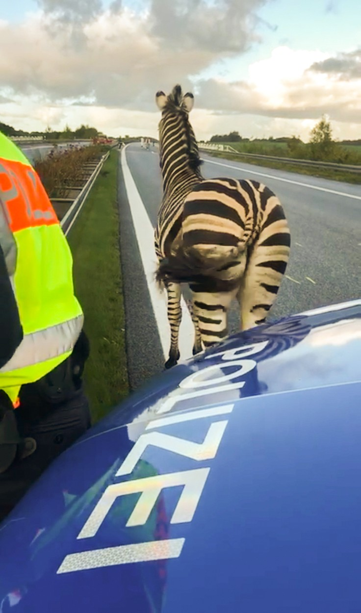 A zebra walks next to a police car on the A20 motorway on October 2, 2019 near the village of Tessin, north-eastern Germany, after the animal had broken out of a circus with a fellow animal, and had caused an accident on in the area. The motorway had to be blocked for a while. The other zebra had already been captured., Image: 474782666, License: Rights-managed, Restrictions: Germany OUT, Model Release: no, Credit line: Tilo WALLRODT / AFP / Profimedia