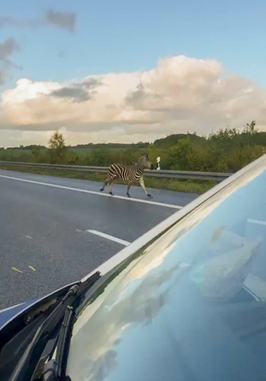 A zebra walks next to a police car on the A20 motorway on October 2, 2019 near the village of Tessin, north-eastern Germany, after the animal had broken out of a circus with a fellow animal, and had caused an accident on in the area. The motorway had to be blocked for a while. The other zebra had already been captured., Image: 474782667, License: Rights-managed, Restrictions: Germany OUT, Model Release: no, Credit line: Tilo WALLRODT / AFP / Profimedia