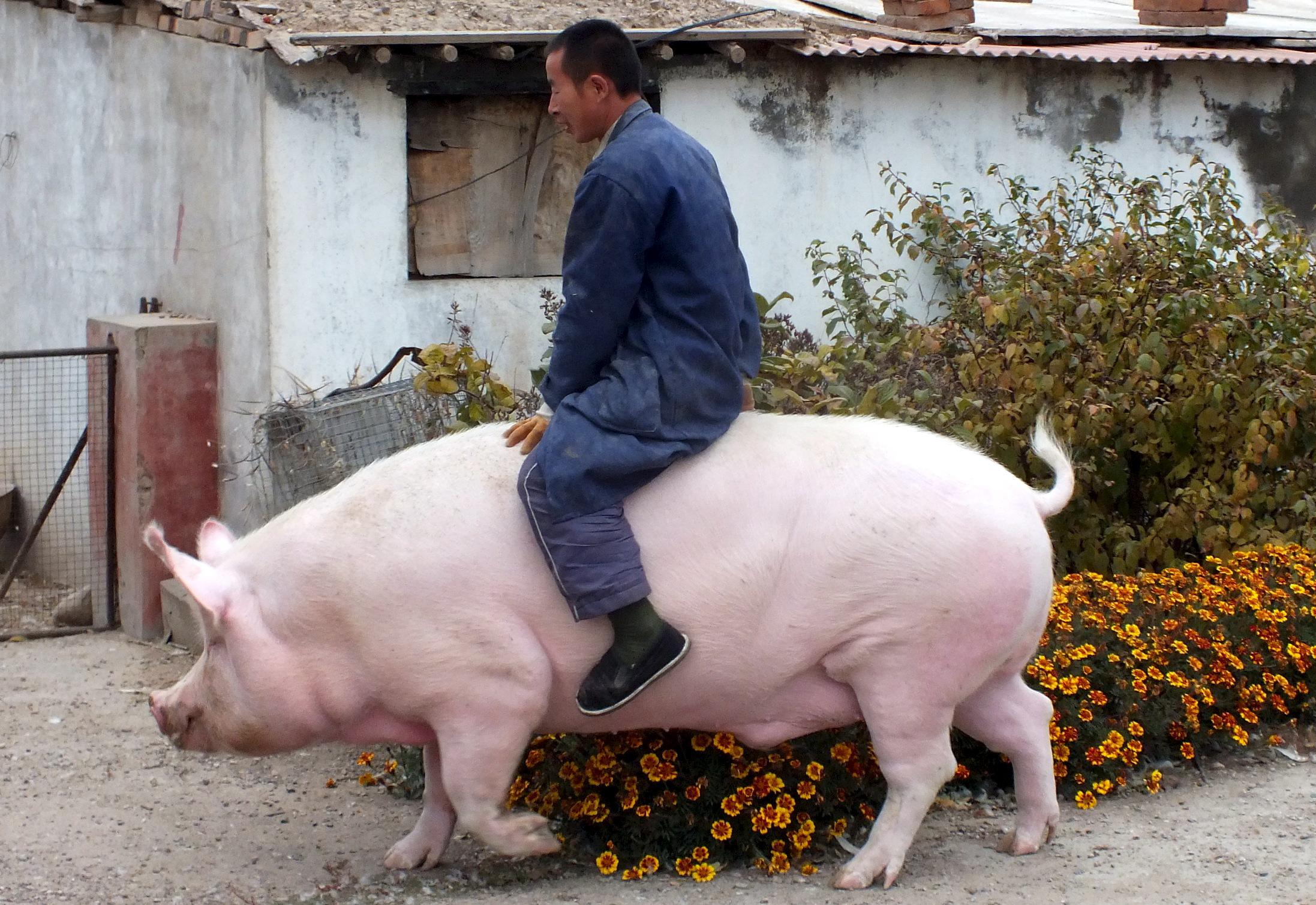Farmer jaše svoju svinju tešku 600 kilograma u kineskoj provinciji Hebei