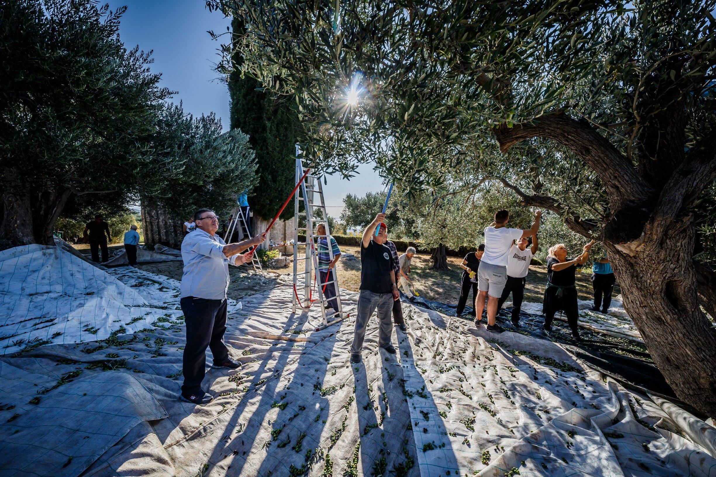 Branje maslina u blizini povijesne crkvice sv. Jurja Kaštela Starog koja datira iz 9. stoljeća