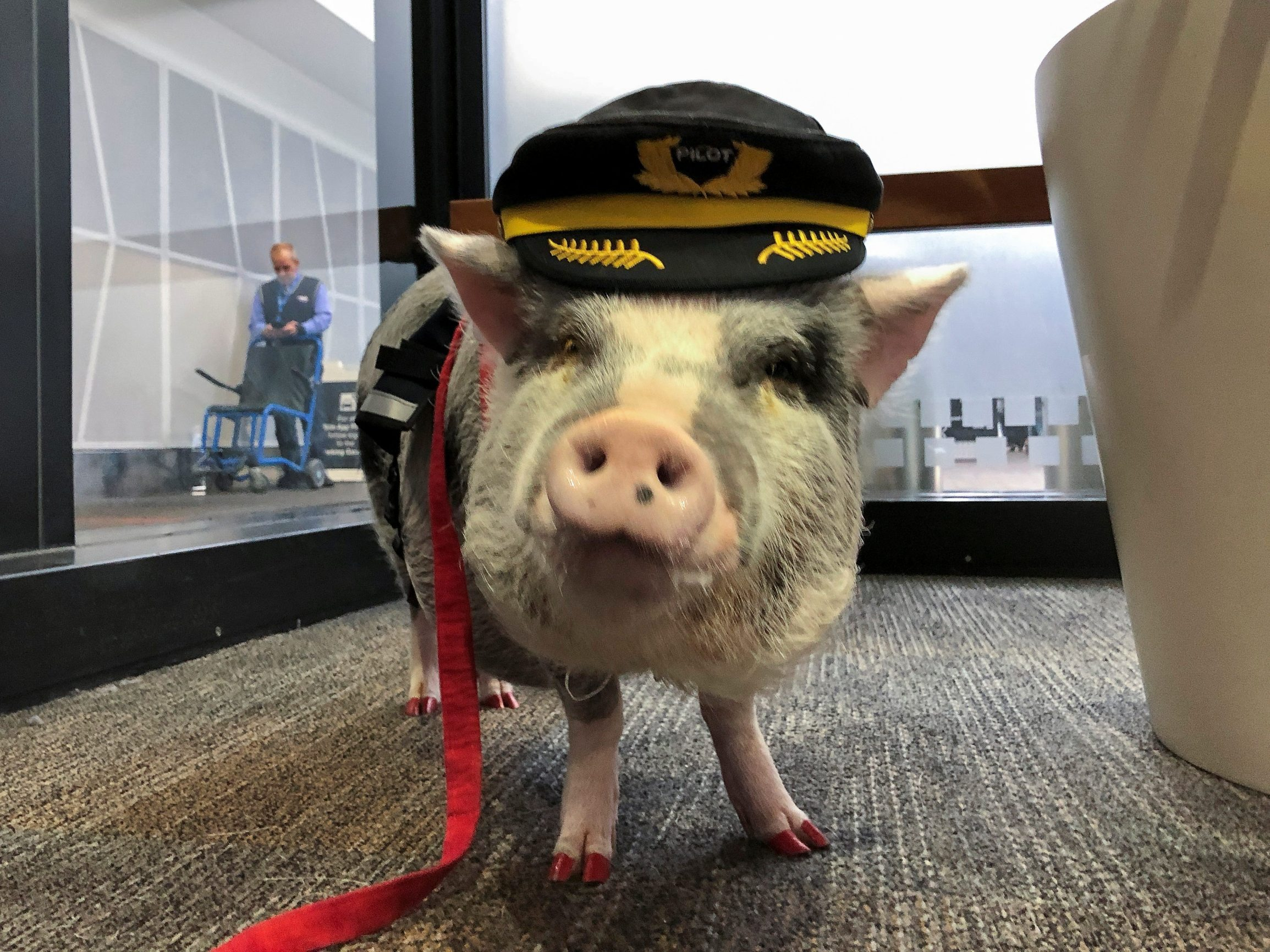 LiLou the therapy pig stands in the departure area at San Francisco International Airport in San Francisco, California, U.S., October 4, 2019. Picture taken October 4, 2019. REUTERS/Jane Ross