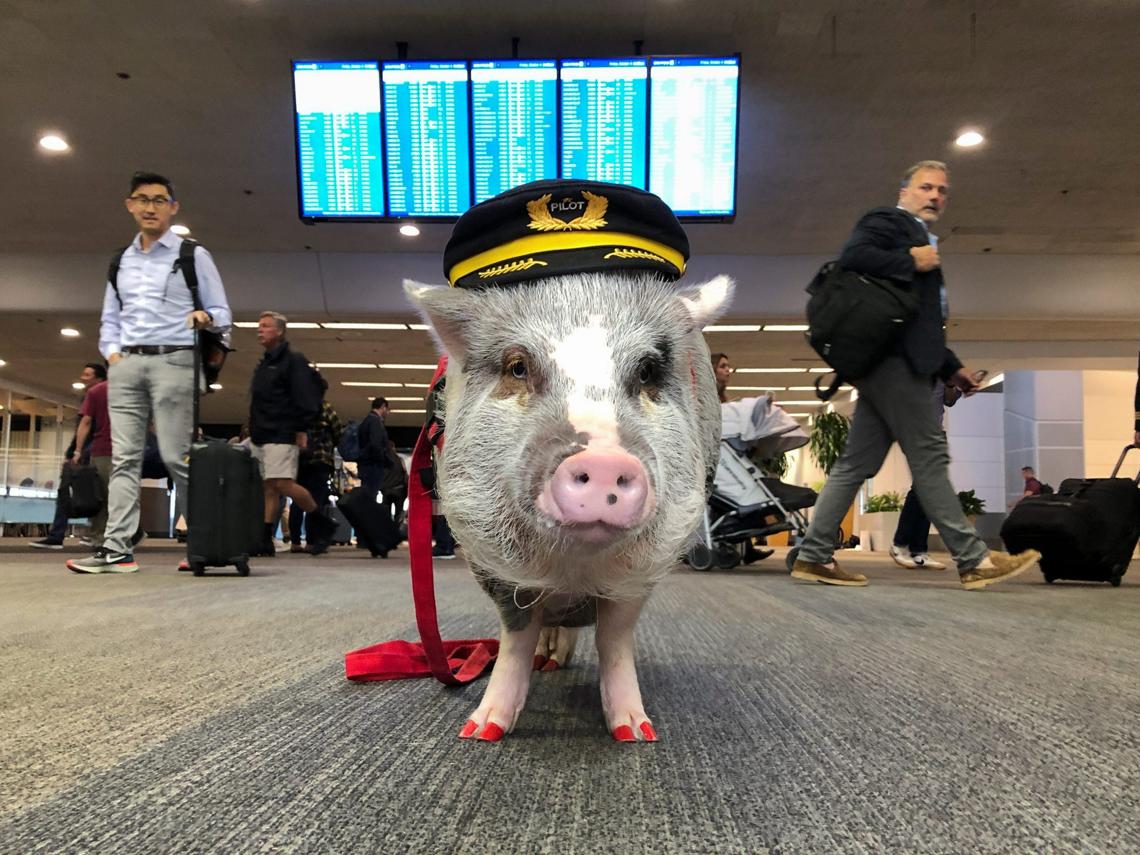 LiLou the therapy pig stands in front of a departures board at San Francisco International Airport in San Francisco, California, U.S. October 4, 2019. Picture taken October 4, 2019. REUTERS/Jane Ross