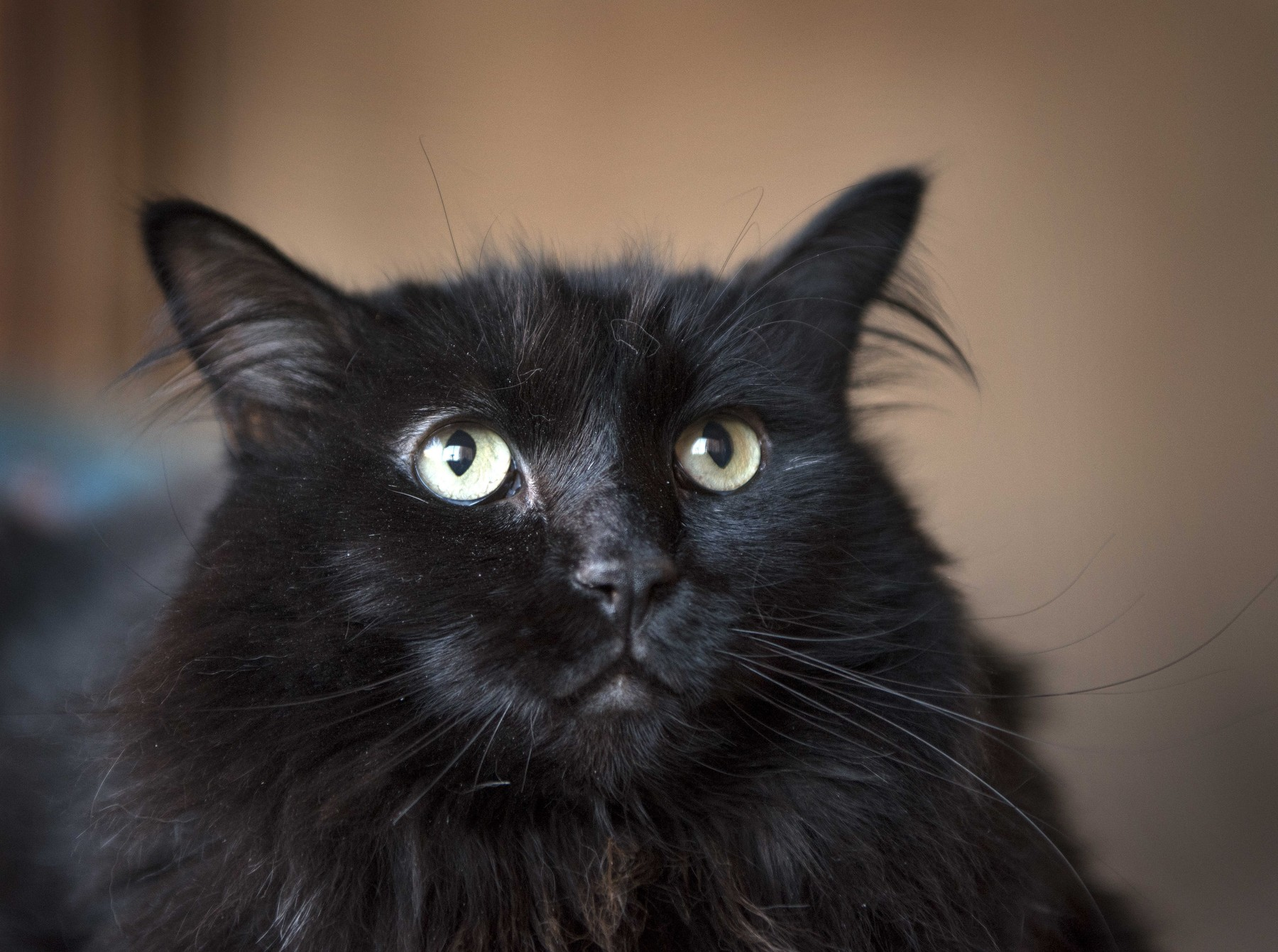 November 18, 2019, USA: Sasha, a black cat that was picked up off the street in Santa Fe, is be reunited with his owner in Portland Oregon after being lost around 5 years ago. Sasha is at the Santa Fe Animal Shelter and Humane Society, Monday November 18, 2019., Image: 483583853, License: Rights-managed, Restrictions: , Model Release: no, Credit line: Eddie Moore / Zuma Press / Profimedia