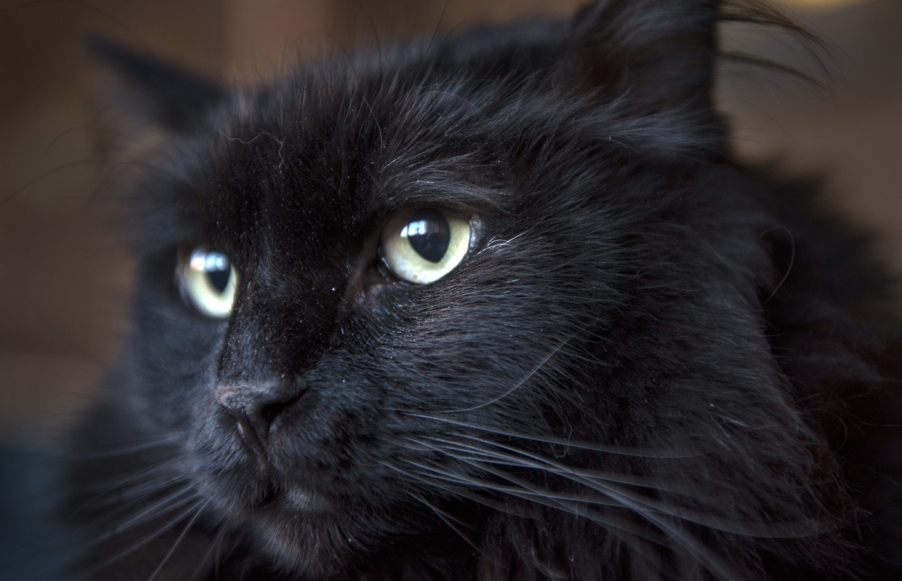 November 18, 2019, USA: Sasha, a black cat that was picked up off the street in Santa Fe, is be reunited with his owner in Portland Oregon after being lost around 5 years ago. Sasha is at the Santa Fe Animal Shelter and Humane Society, Monday November 18, 2019., Image: 483584223, License: Rights-managed, Restrictions: , Model Release: no, Credit line: Eddie Moore / Zuma Press / Profimedia
