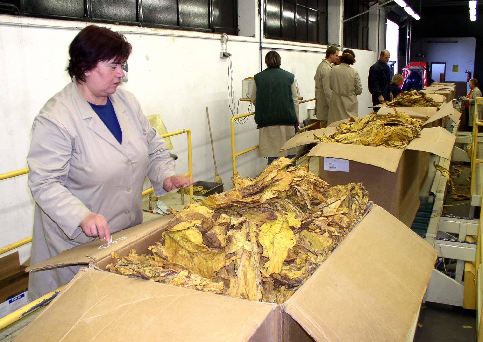 Agronomi Hrvatskih duhana pregledavaju otkupljeni duhan