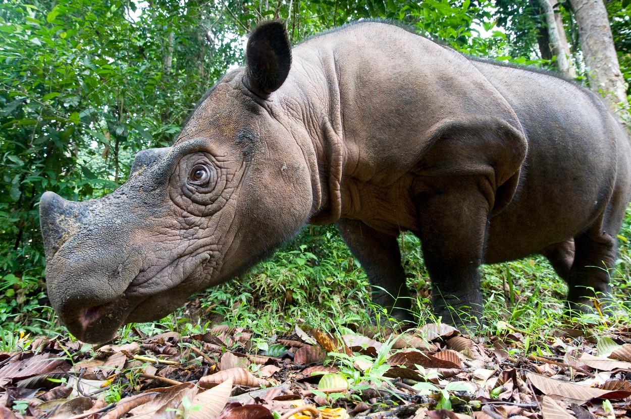 Sumatranski nosorog