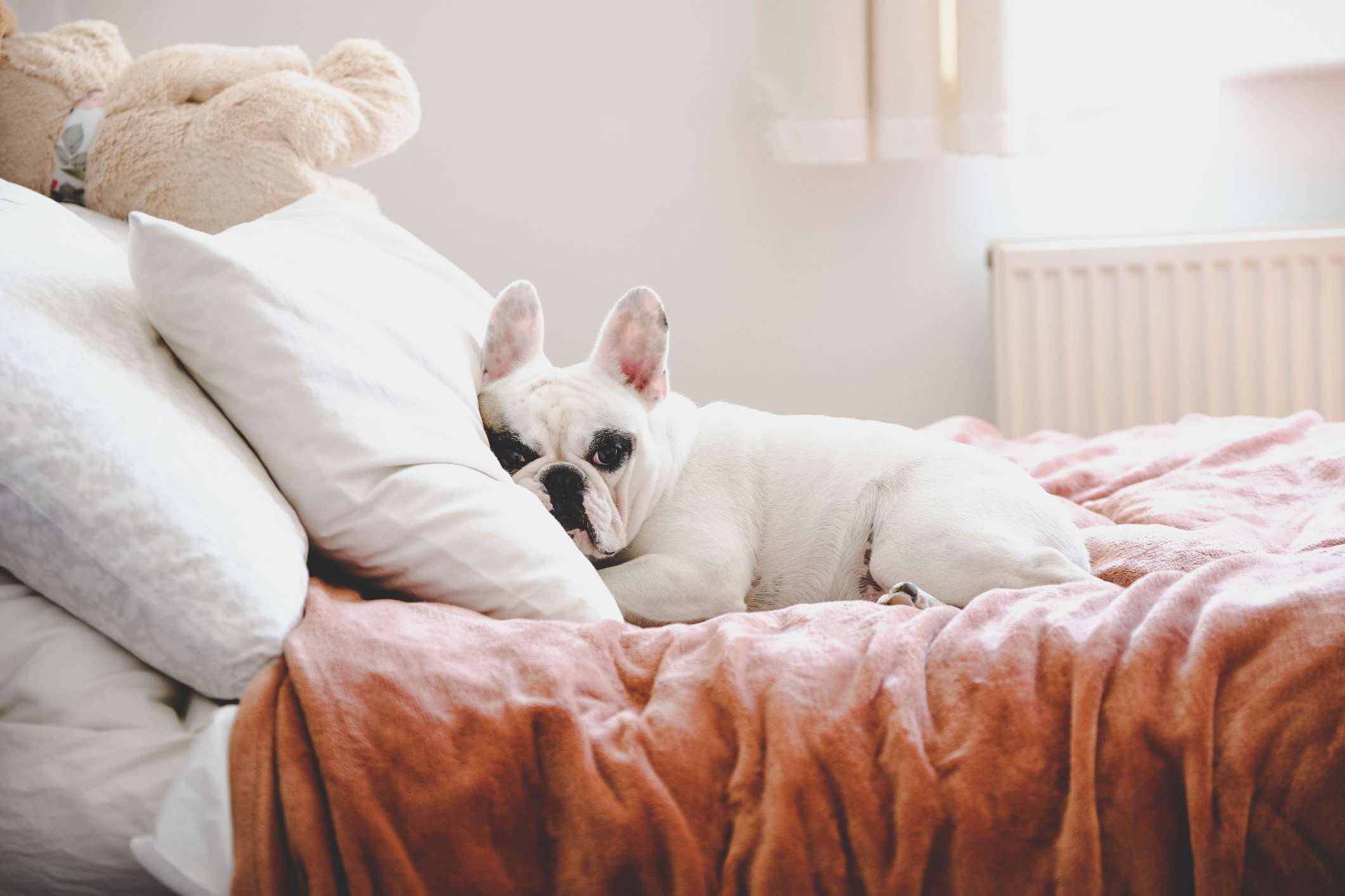 Cute Frenchie lying on bed in a bed room