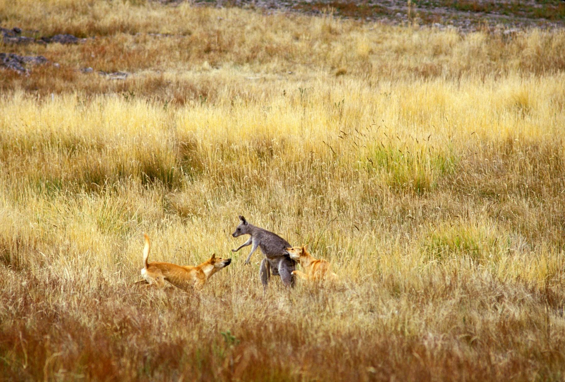 Ilustracija: Dingo napada klokana