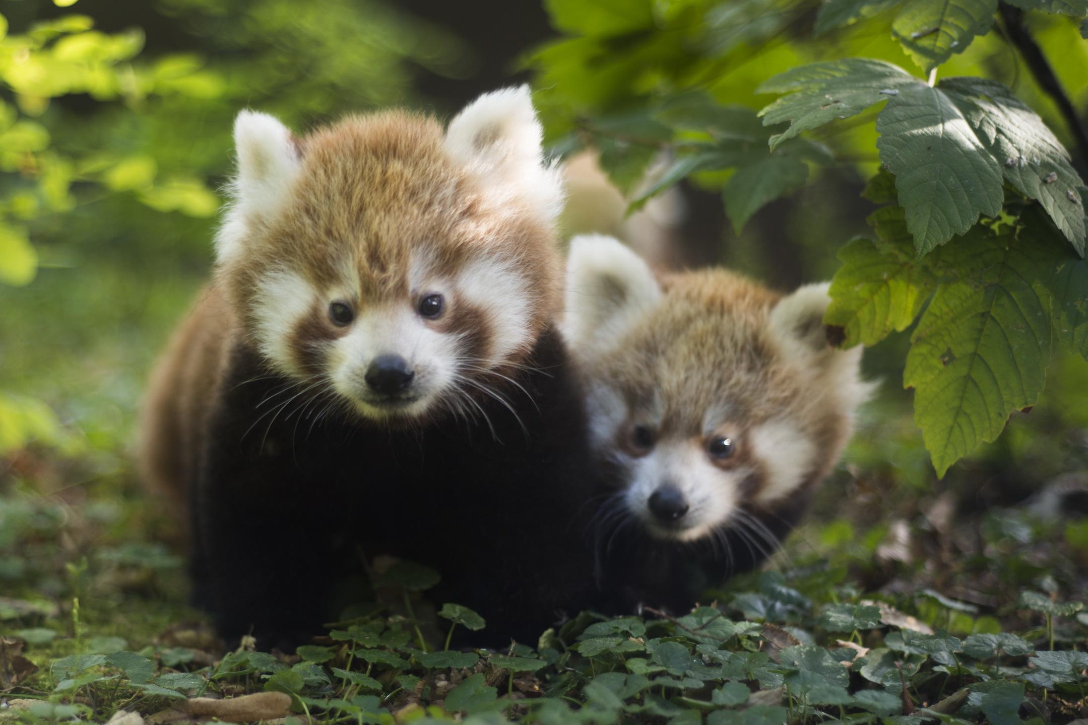 Crvene pande