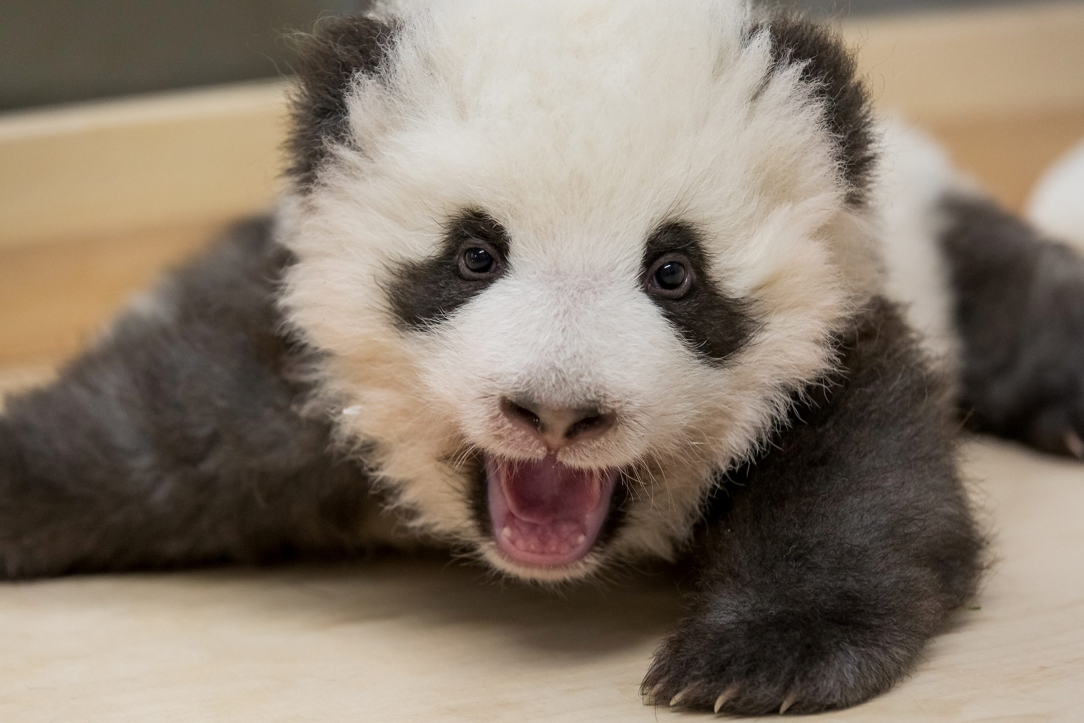 A handout photo shows one of the twin panda cubs resting in Berlin Zoo, Germany, November 27, 2019. Picture taken November 27, 2019. Berlin Zoo/Handout via REUTERS ATTENTION EDITORS - THIS IMAGE WAS PROVIDED BY A THIRD PARTY. NO RESALES. NO ARCHIVES. MANDATORY CREDIT.