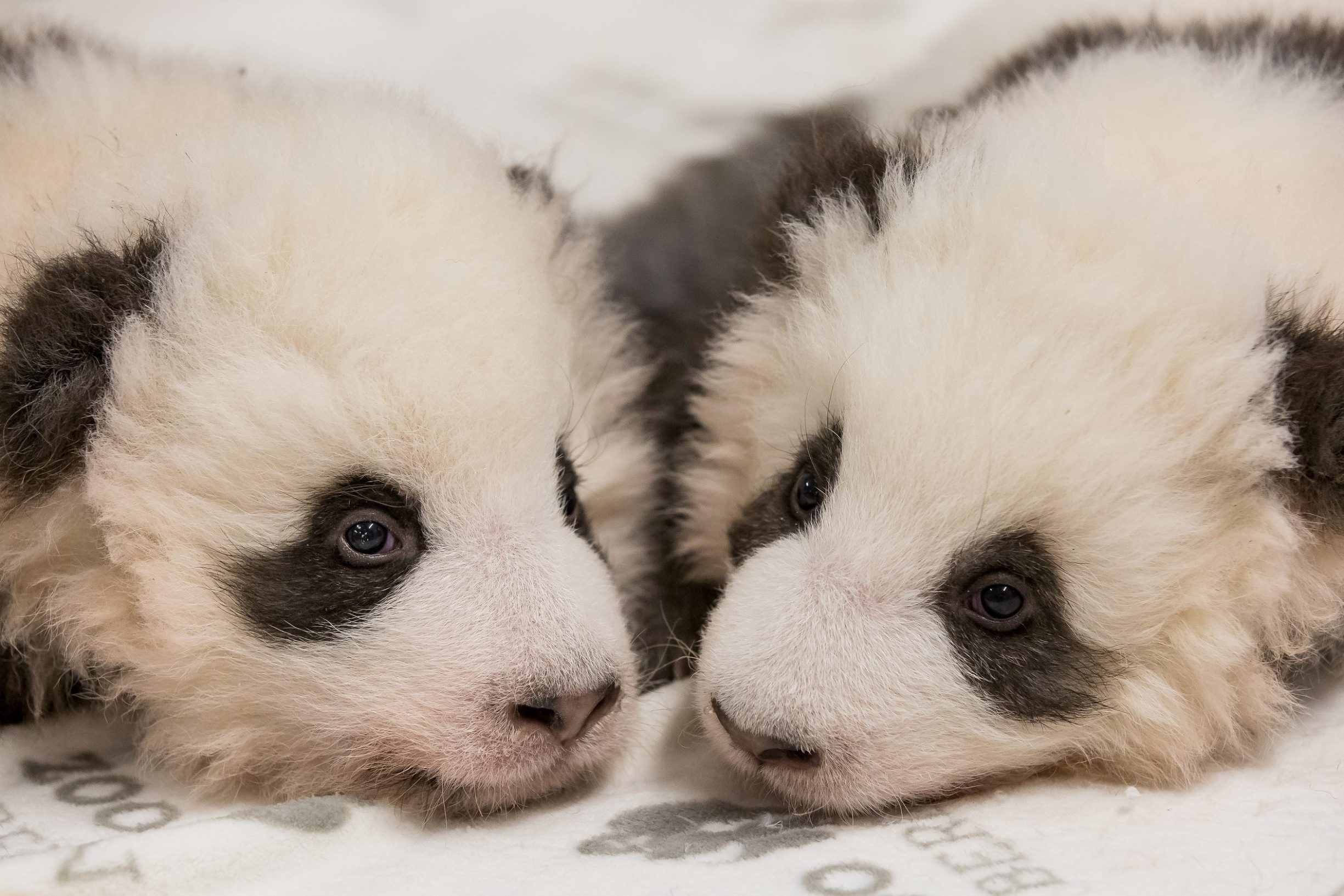 A handout photo shows twin panda cubs rest in Berlin Zoo, Germany, November 27, 2019. Picture taken November 27, 2019. Berlin Zoo/Handout via REUTERS ATTENTION EDITORS - THIS IMAGE WAS PROVIDED BY A THIRD PARTY. NO RESALES. NO ARCHIVES. MANDATORY CREDIT.