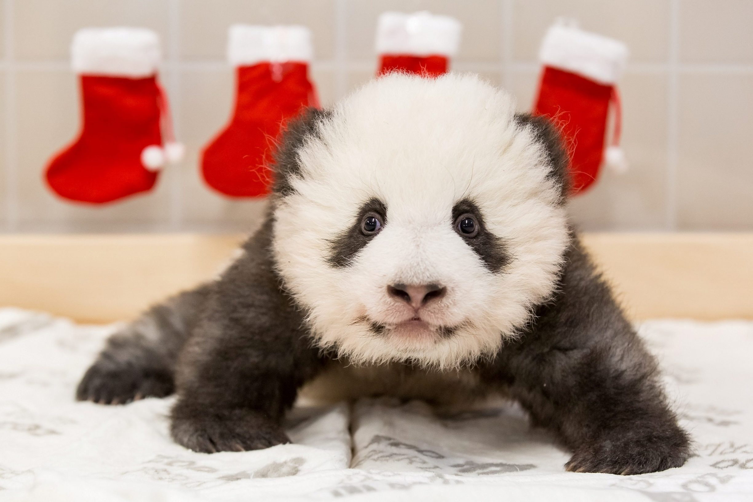A handout photo shows one of the twin panda cubs resting in Berlin Zoo, Germany, December 4, 2019. Picture taken December 4, 2019. Berlin Zoo/Handout via REUTERS ATTENTION EDITORS - THIS IMAGE WAS PROVIDED BY A THIRD PARTY. NO RESALES. NO ARCHIVES. MANDATORY CREDIT.