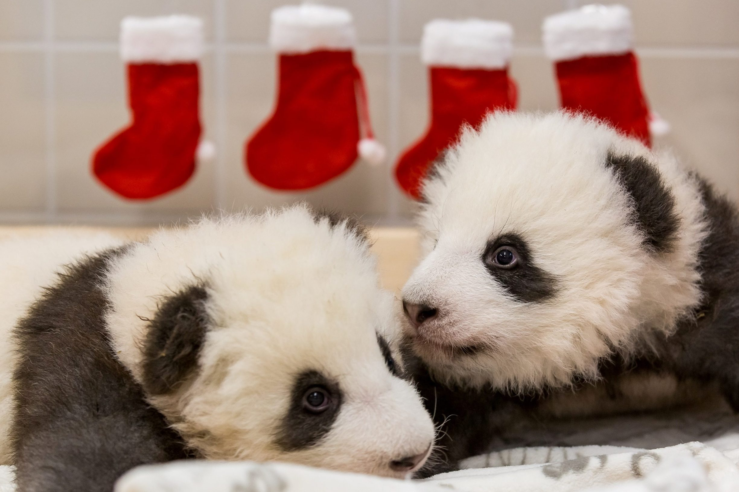 A handout photo shows twin panda cubs resting in Berlin Zoo, Germany, December 4, 2019. Picture taken December 4, 2019. Berlin Zoo/Handout via REUTERS ATTENTION EDITORS - THIS IMAGE WAS PROVIDED BY A THIRD PARTY. NO RESALES. NO ARCHIVES. MANDATORY CREDIT.