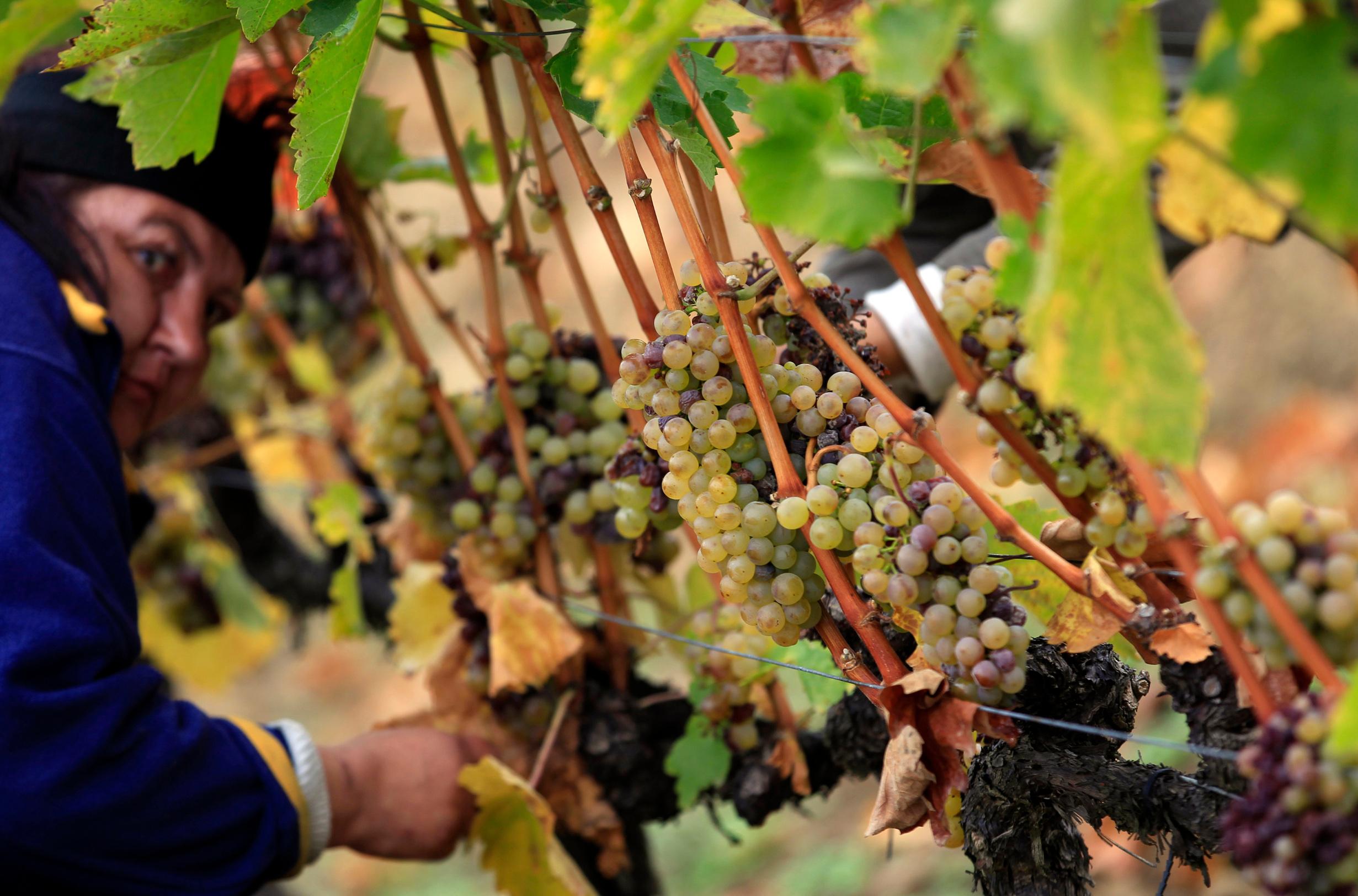 Radnici u vinogradu Tokaj u Mađarskoj