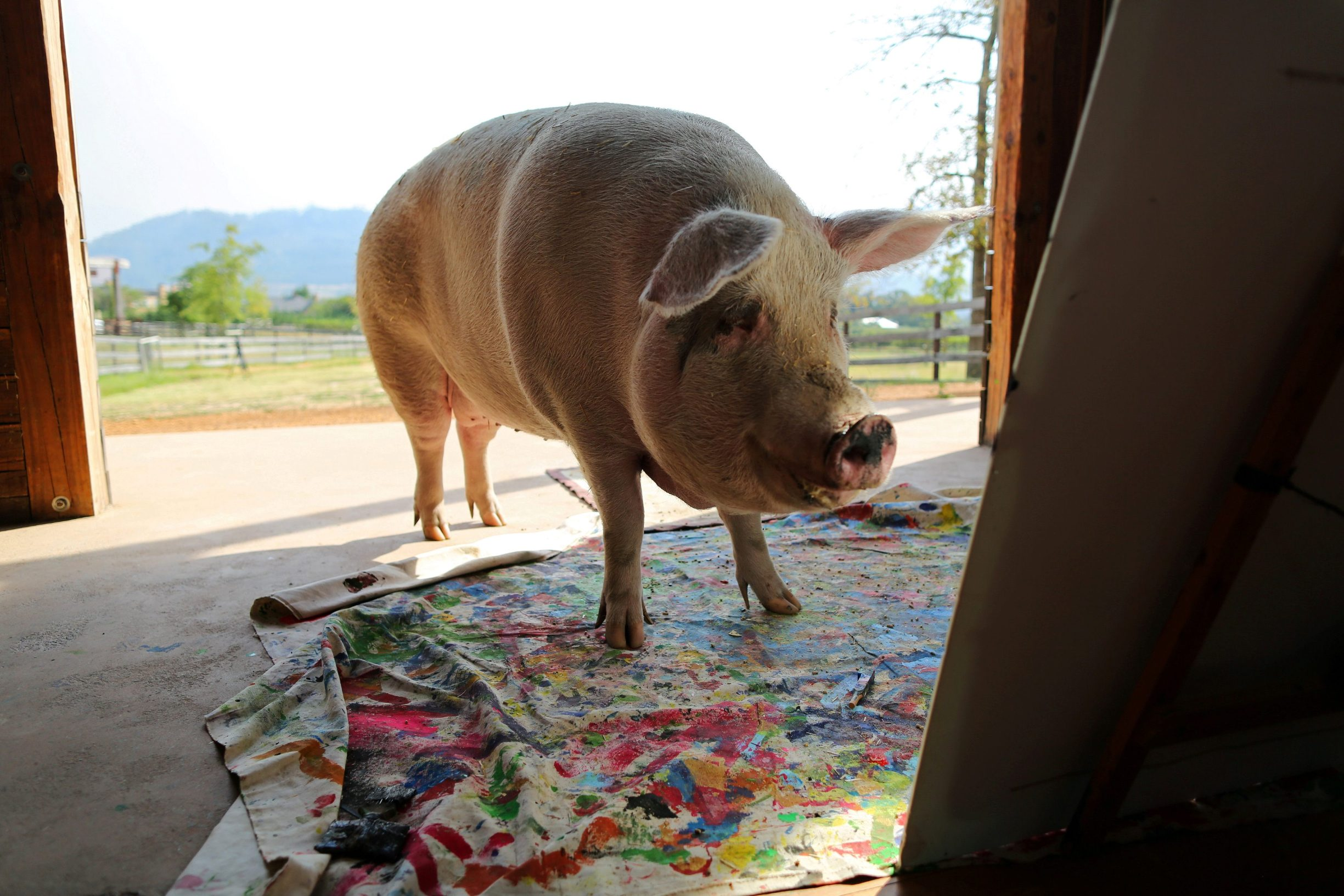 FILE PHOTO: Pigcasso, a rescued pig, looks at a canvas after painting at the Farm Sanctuary in Franschhoek, outside Cape Town, South Africa February 21, 2019. 2019. REUTERS/Sumaya Hisham/File Photo