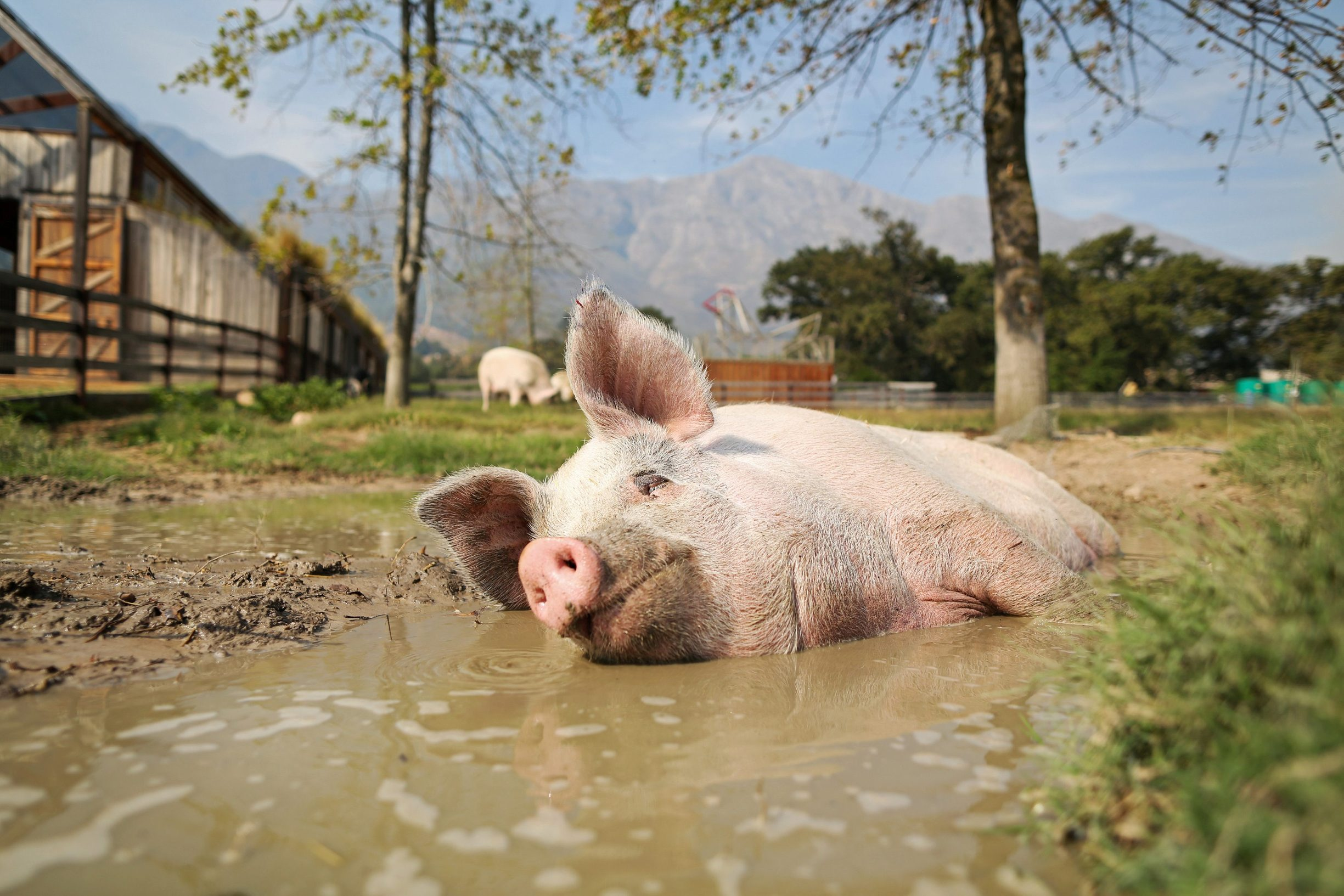 FILE PHOTO: Pigcasso, cools down in a mud bath after painting at the Farm Sanctuary in Franschhoek, outside Cape Town, South Africa February 21, 2019. 2019. REUTERS/Sumaya Hisham/File Photo