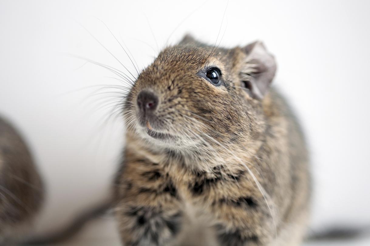 Istraživanje provedeno na miševima pokazalo je da su oni koji su bili na fast foodu u četiri mjeseca utrostručili masno tkivo