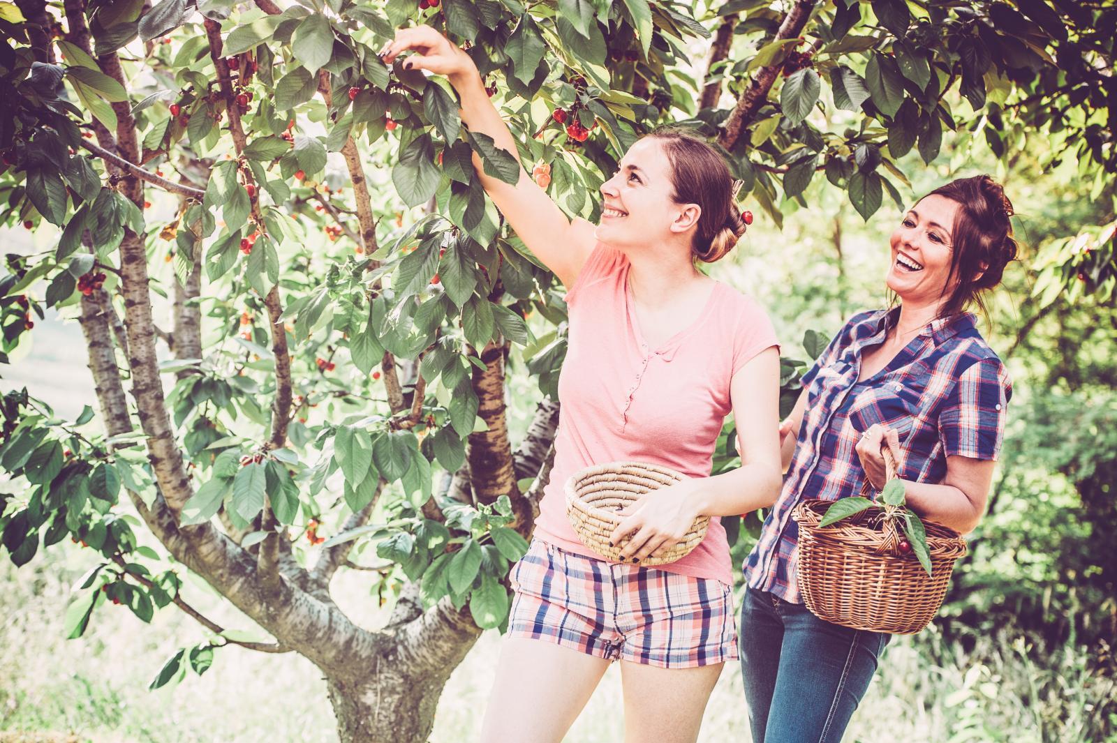 Preduhitrite ptice, pčele i bumbare, oberite stablo na vrijeme, a u pomoć pozovite djecu, rodbinu, prijatelje...
