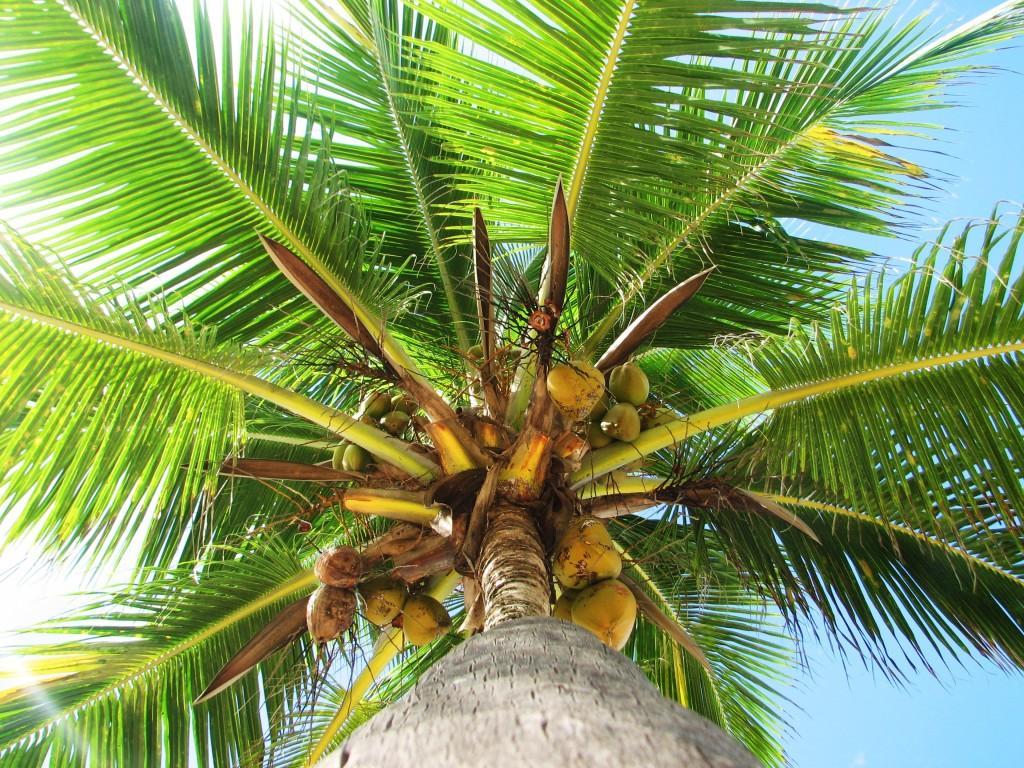 Prednosti palmina ulja je puno. Osim što je sličnih nutritivnih vrijednosti kao maslinovo, poznato je i po svojim zdravstvenim benefitima.