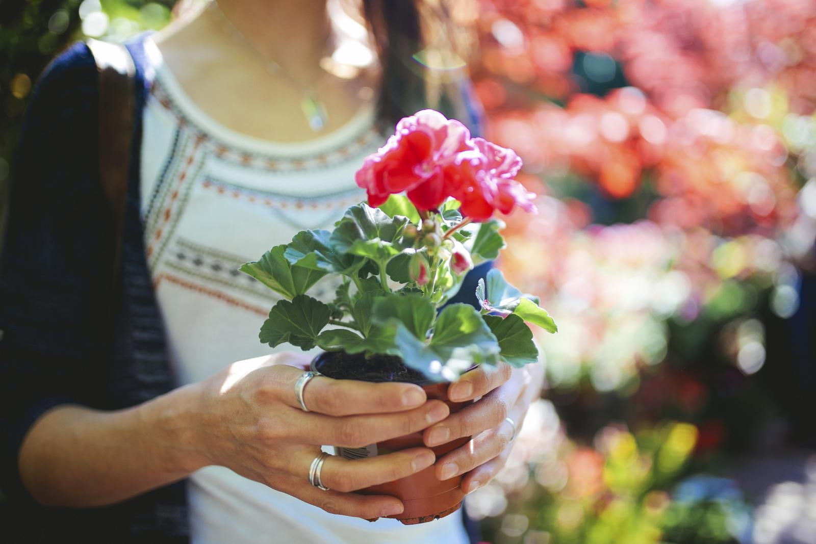 O ovom cvijetu pišu i sanjarice: ako u snu gledate u pelargoniju, na pomolu je nova nada, a dodirujete li ju u snu, to je znamen sreće.