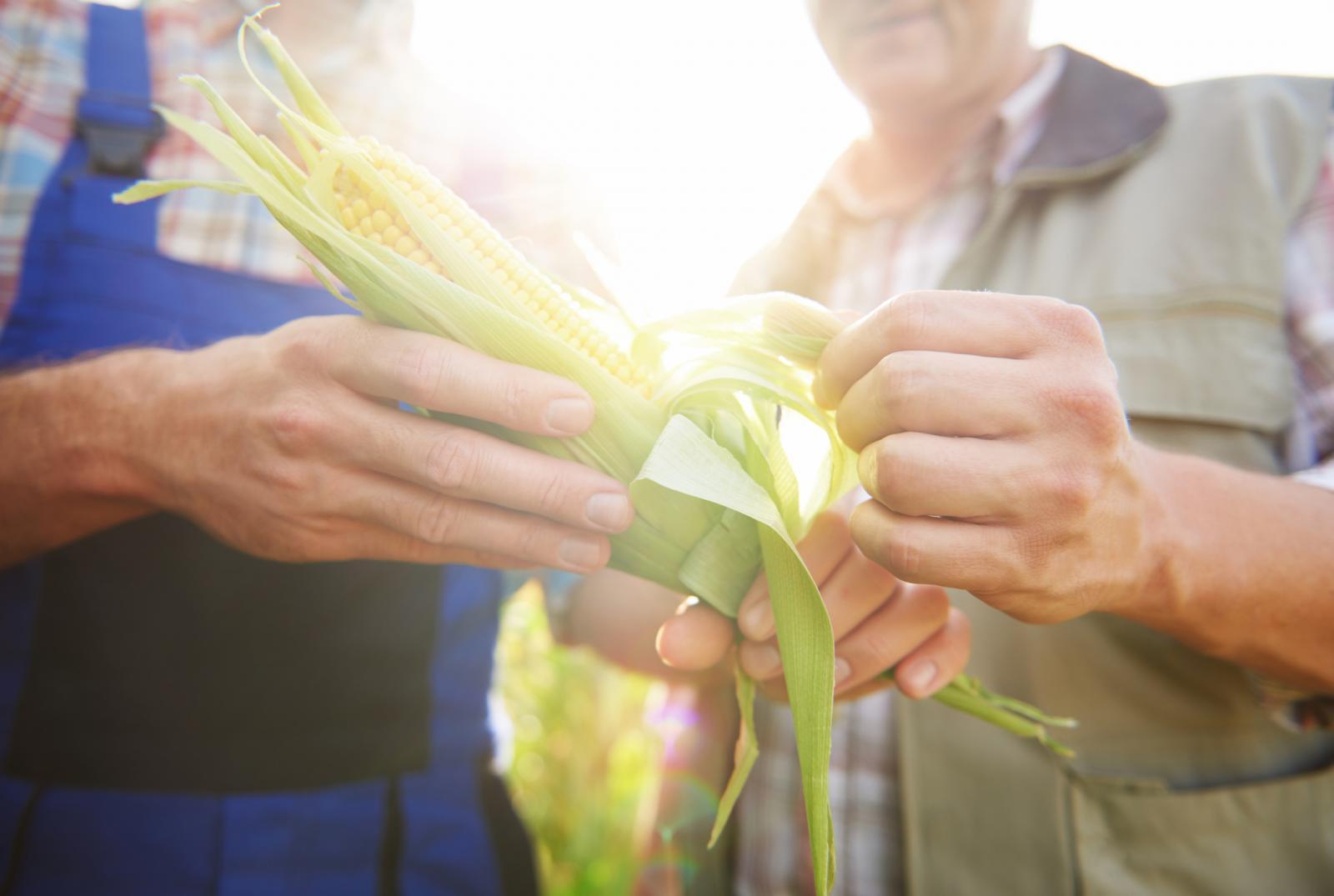 Kukuruz potječe iz Srednje Amerike, a danas je uz pšenicu i rižu najvažnija žitarica.