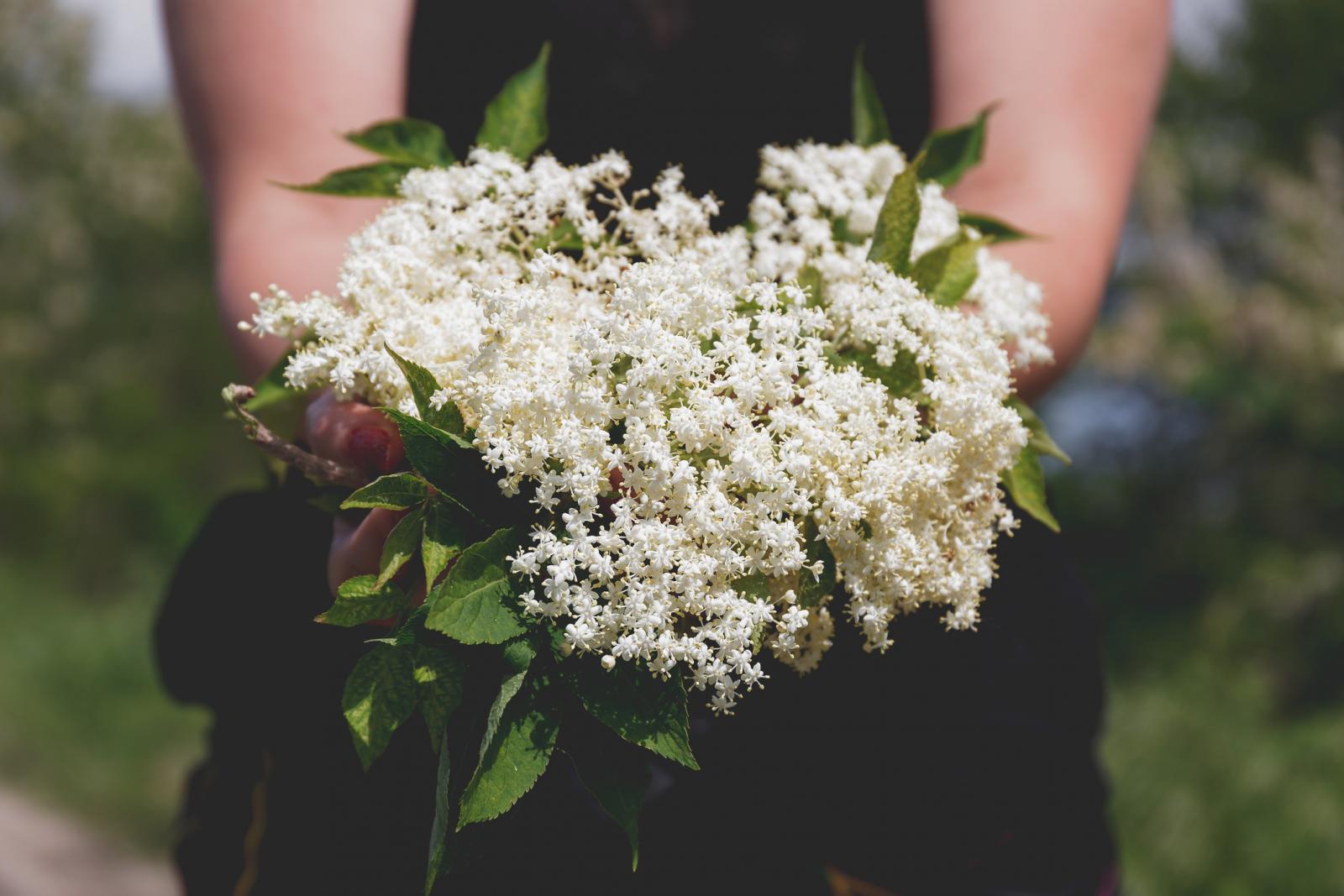 Cvjetovi bazge bogati su glikozidima, taninima, flavonoidima, karotenima, rutinom i vitaminom C, a smatra se da su upravo flavonoidi, moćni antioksidansi koji štite naše stanice od oštećenja, zaslužni za njenu ljekovitost.