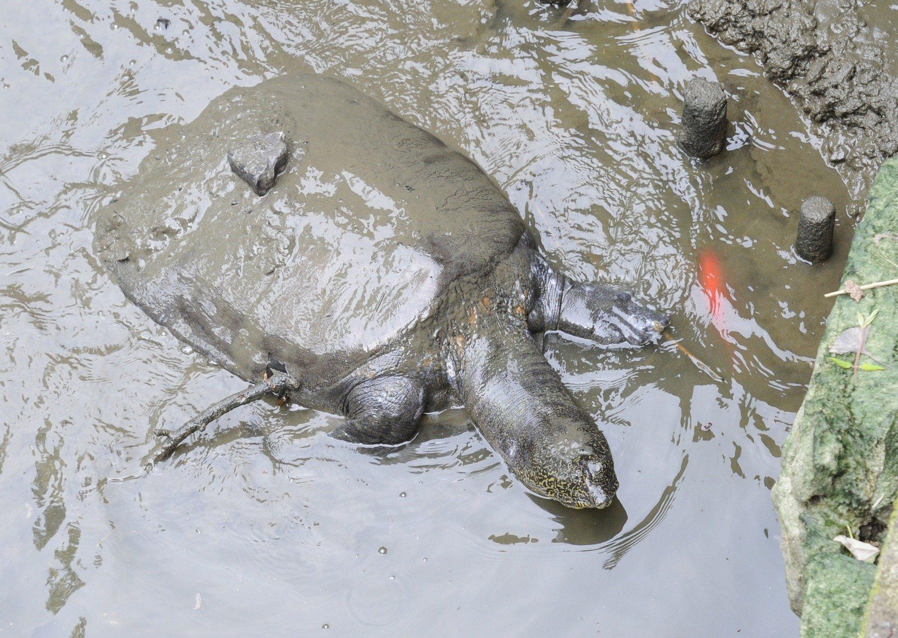 Divovska mekooklopna kornjača