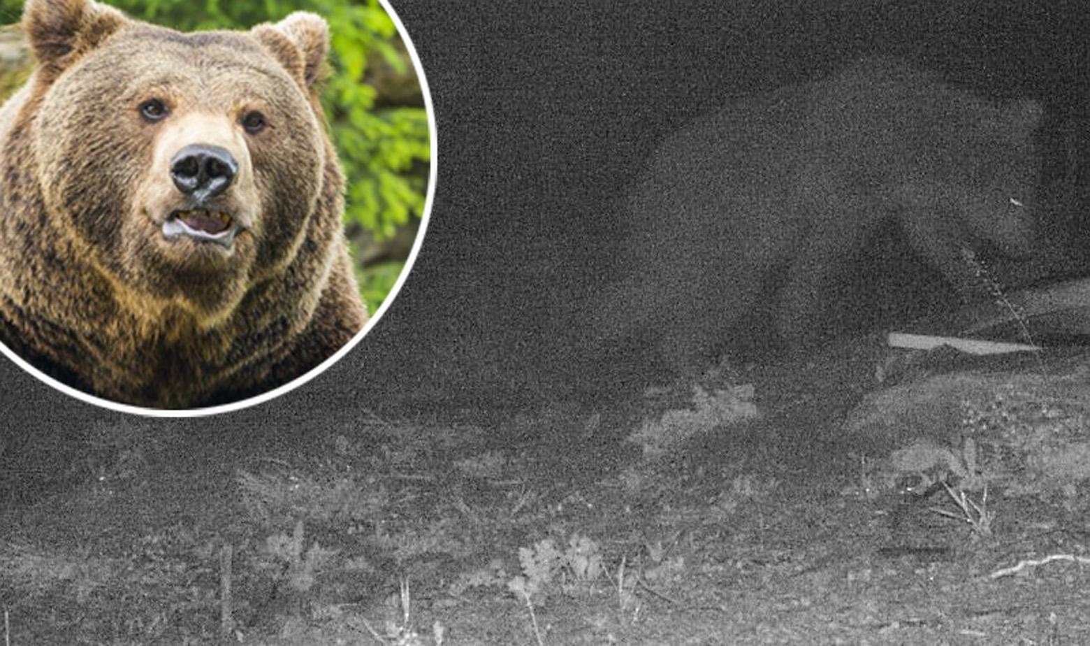Ilustracija medvjeda i noćna snimka medvjeda koji je viđen na Pelješcu