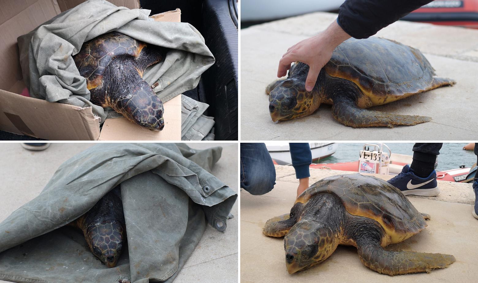 Glavata želva koja je izvučena iz mora u Veloj Luci