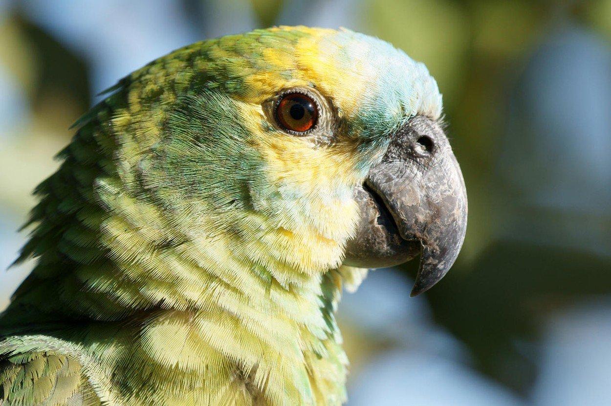 Papiga, ilustracija