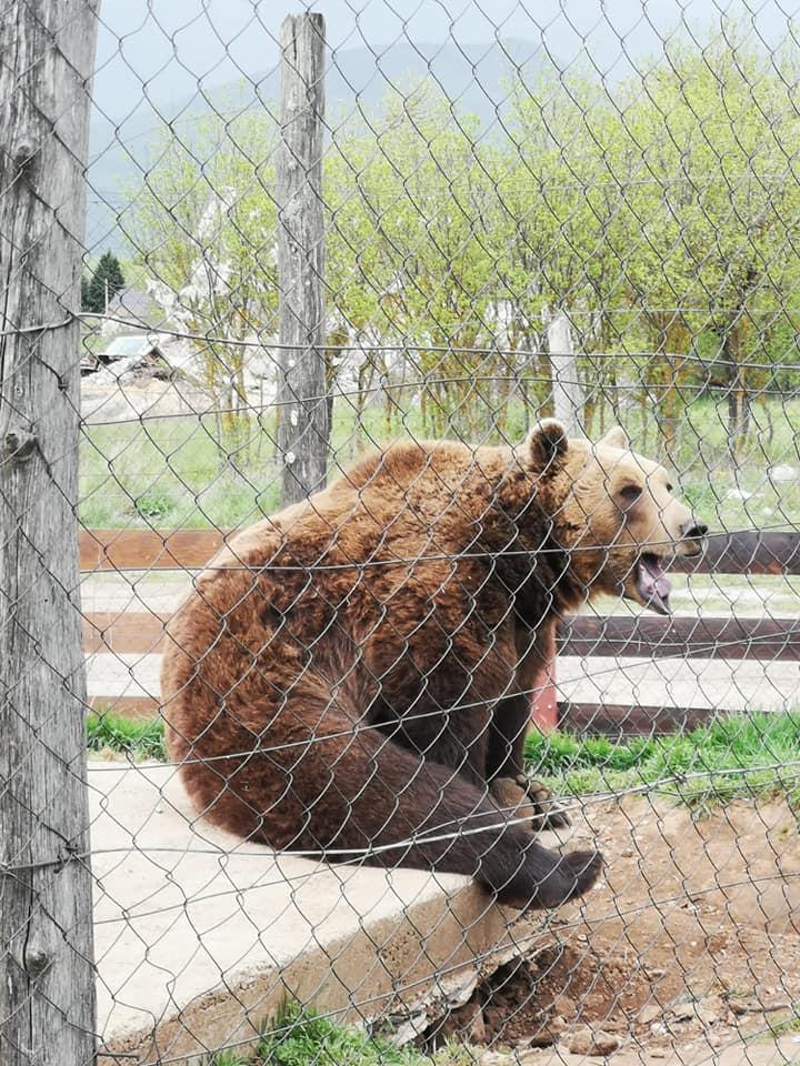 Medvjed iza restorana Macola