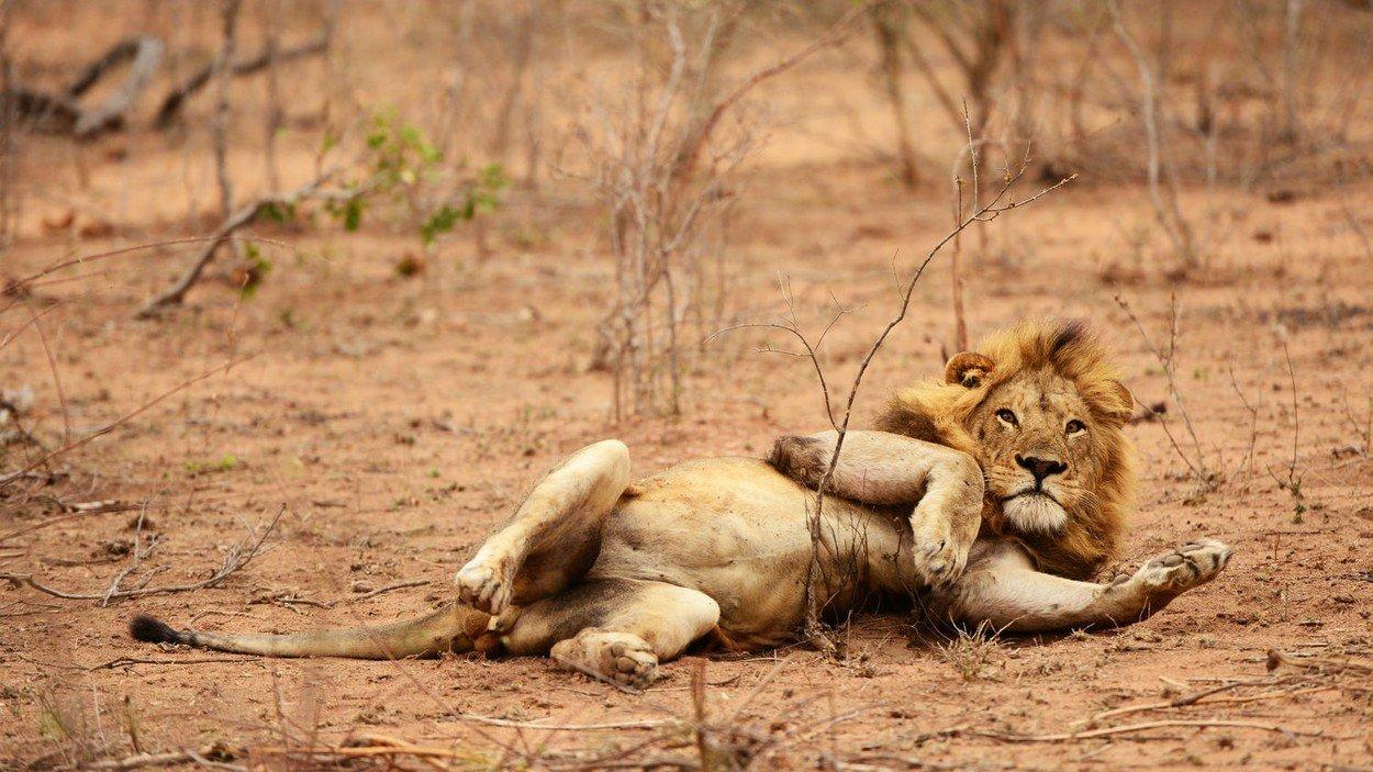 Lav u Nacionalnom parku Kruger