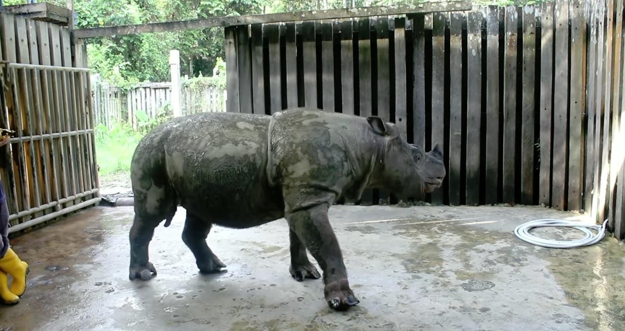 sumatranskinosorog Tam