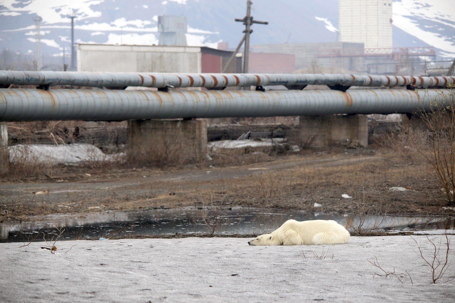 Polarni medvjed u Norilsku