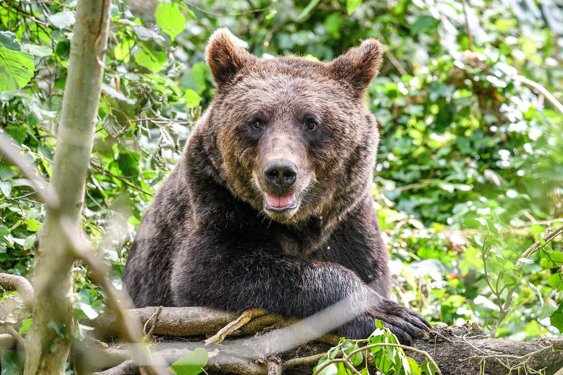 Smeđi medvjed