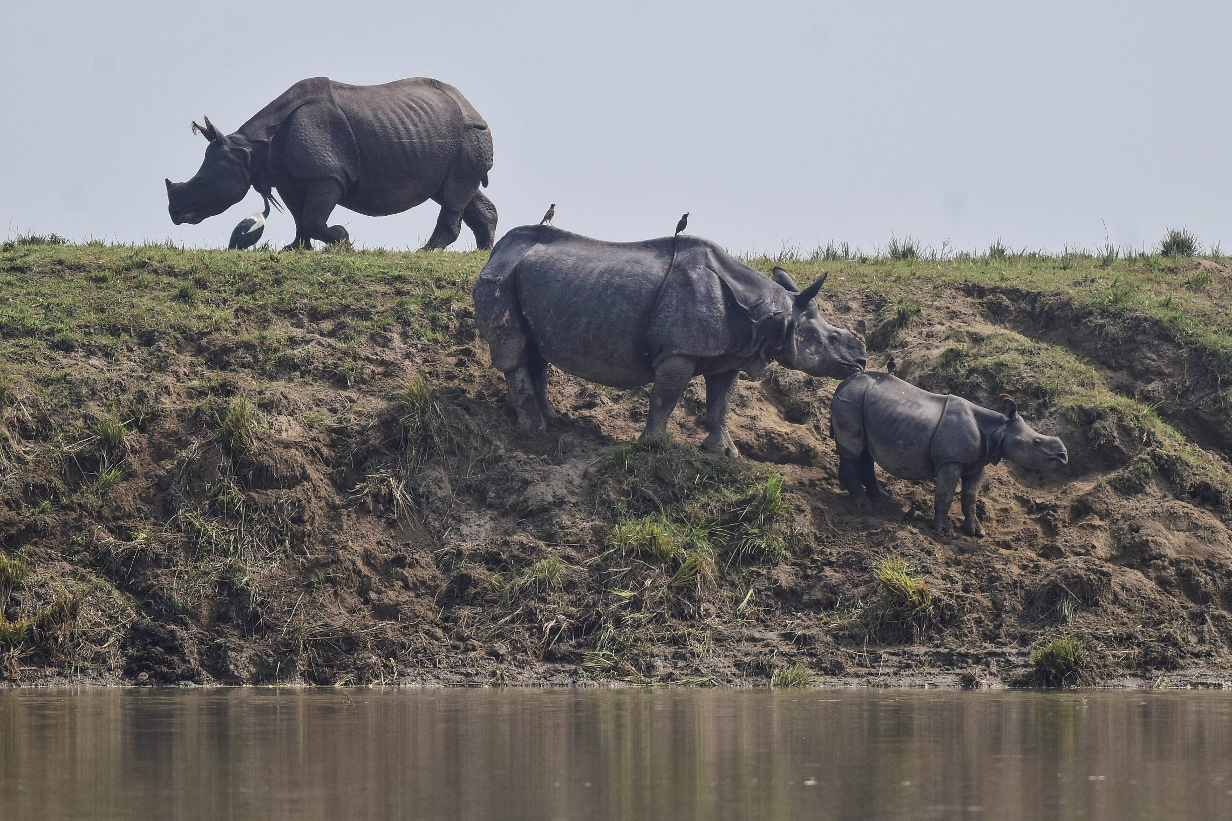One-horned rhinos take shelter at a highland in the flood affected area of Kaziranga National Park in Nagaon district, in the northeastern state of Assam, India, July 18, 2019. REUTERS/Anuwar Hazarika