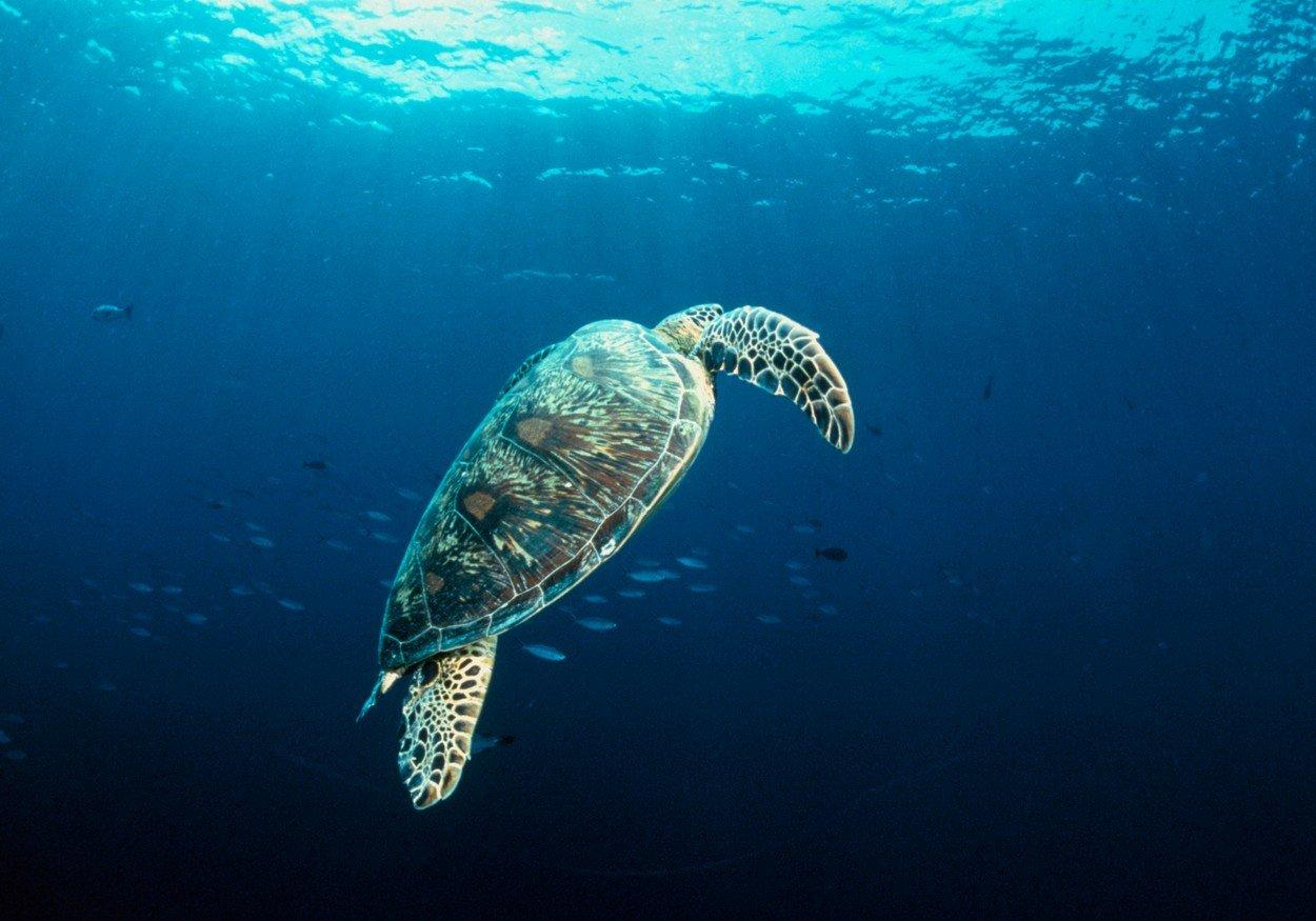 Golema želva (zelena morska kornjača)
