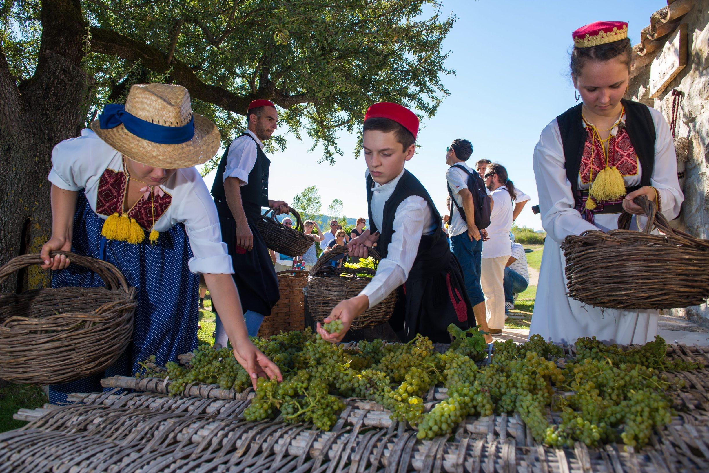 Konavle, 040913. Agroturizam Konavle pozvao je danas sve zainteresirane na trganje ili berbu grozdja u vinogradu OPG-a Ive Karamana u Pridvorju. Berba grozdja uprilicena je na tradicijski nacin s ciljem ukazivanja na Konavle kao na vinsku regiju te kao destinaciju za ruralni turizam. Foto: Tonci Plazibat / CROPIX
