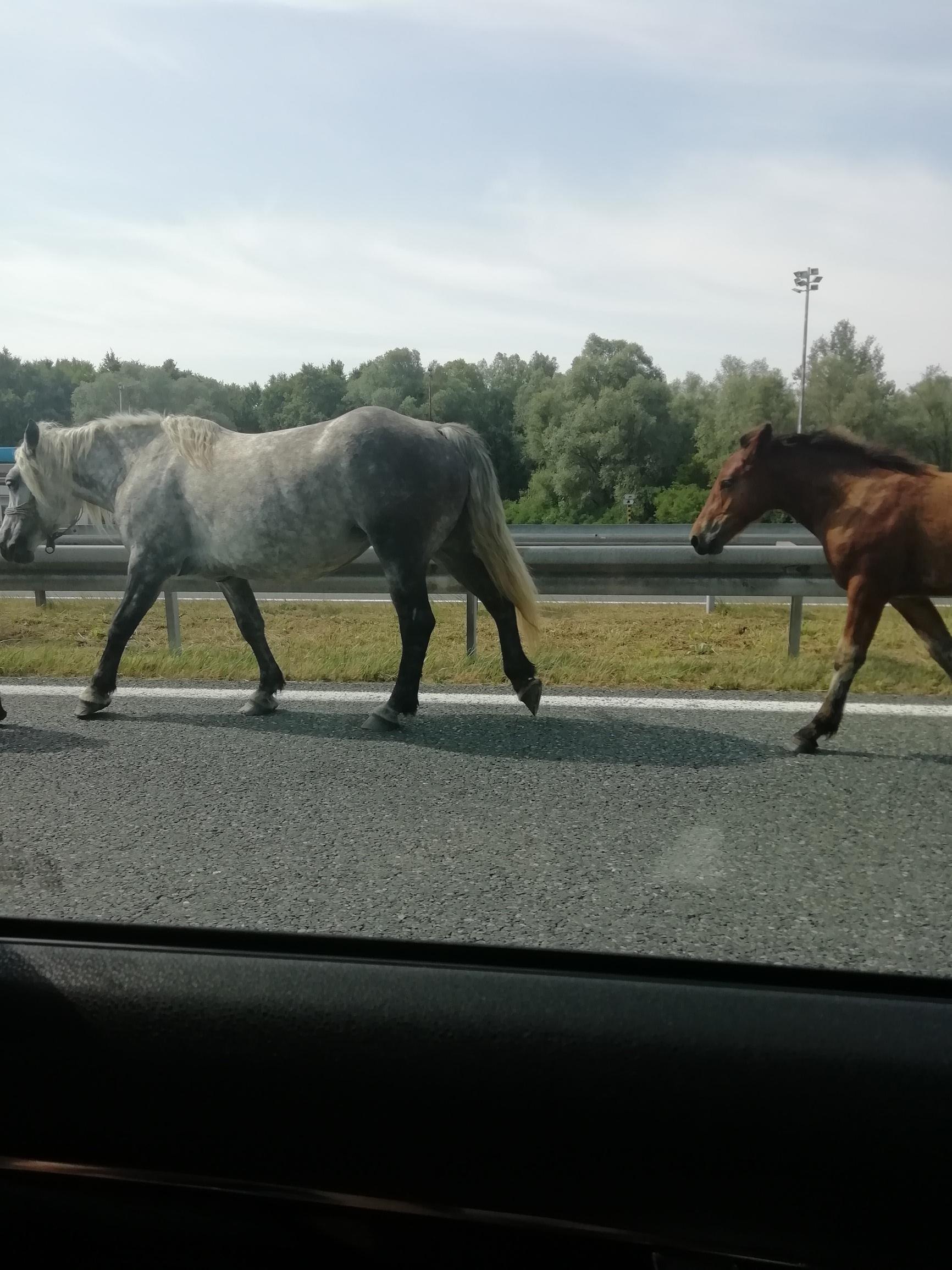 Konji na autocesti A3 kod Novske