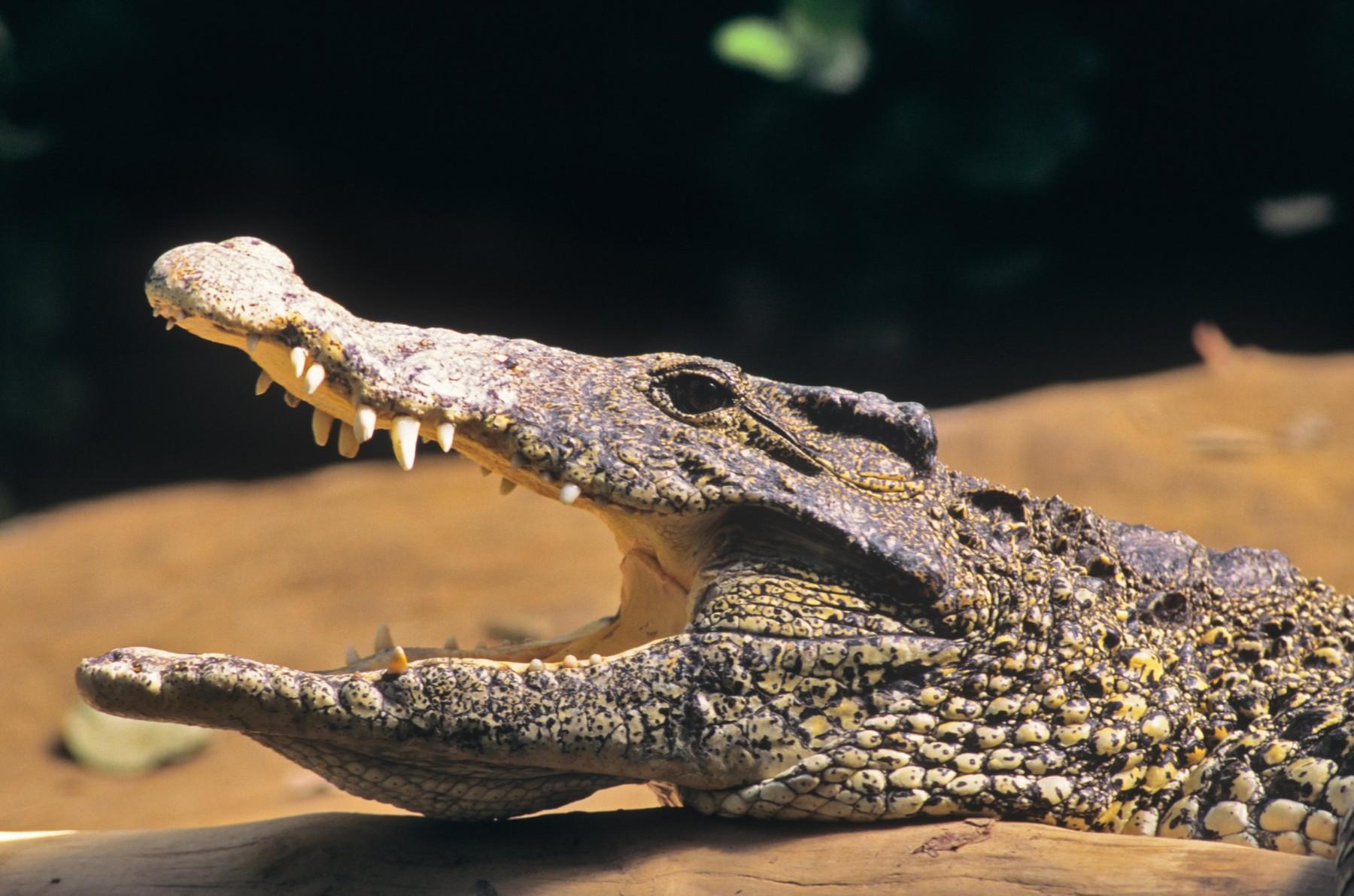 kubanski krokodil