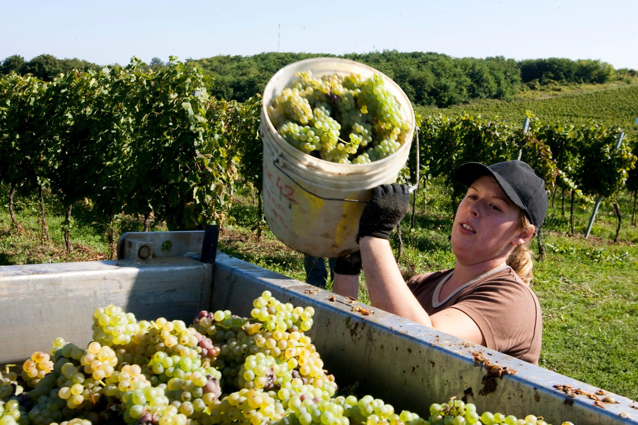 Knezevi Vinogradi, 200913. Berba grozdja sorte grasevina na beljskim vinogradima na Banovom brdu. Foto: Vlado Kos / Cropix