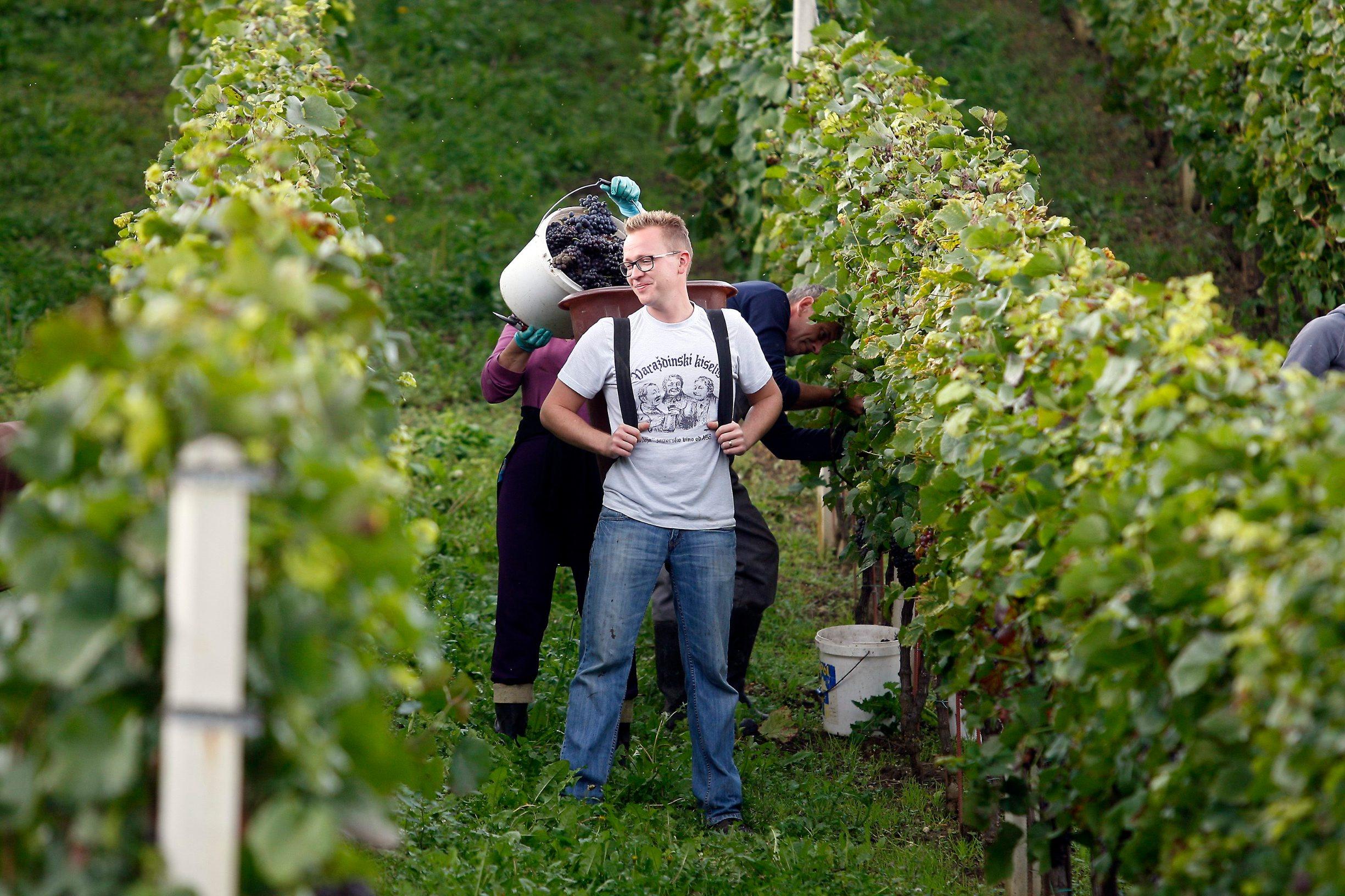 Varazdin, 140914. Unatoc nepogodnom vremenu za proizvodjace vina, ovog je vikenda zapocela berba grozdja. Na zagorskim bregima ovih je dana iskoristen svaki trenutak kada ne pada kisa da se dragocjene bobice prebace u podrume, gdje se nakon muljanja i presanja spremaju u bacve. Na fotografiji: berba grozdja. Foto: Zeljko Hajdinjak / CROPIX