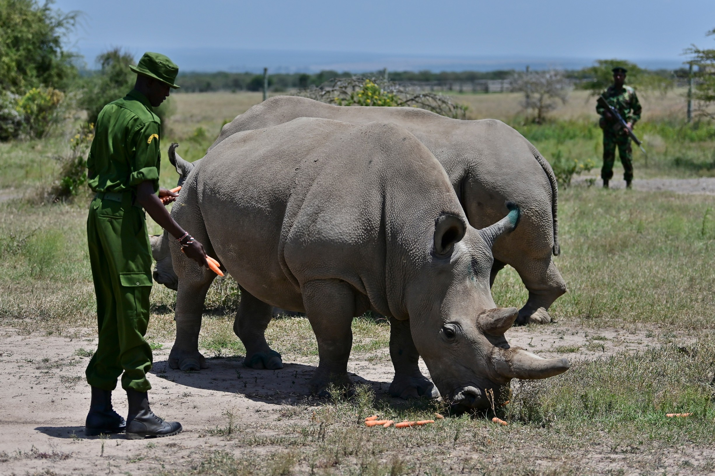 Bijeli nosorog, Kenija
