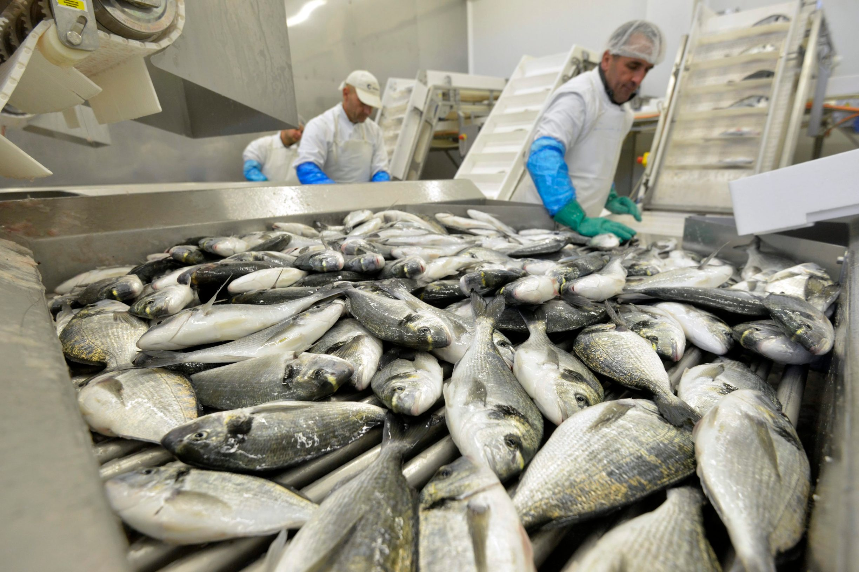 Prerada ribe u zadarskom pogonu Cromarisa