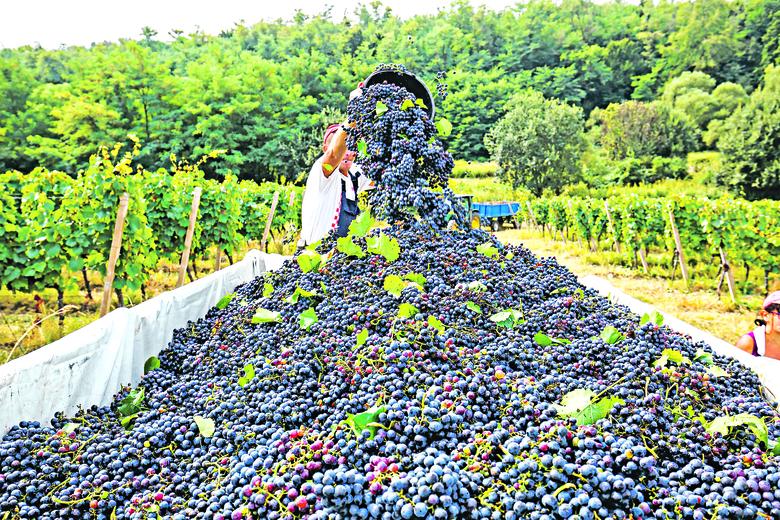 Reportaža s berbe grožđa u vinogradima Feravina