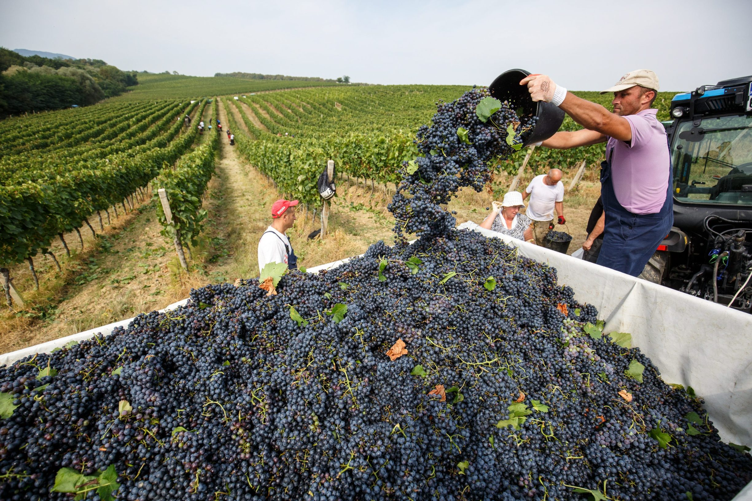 Fericanci, 290819. Reportaza s berbe grozdja u vinogradima Feravina. Foto: Vlado Kos / CROPIX