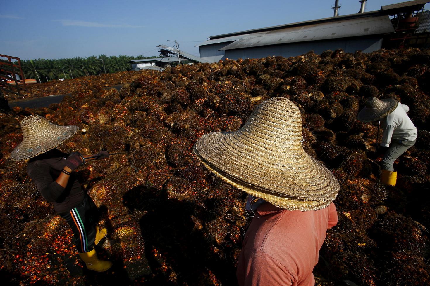 Proizvodnja palminog ulja u tvornici izvan Kuala Lumpura. Indonezija i Malezija su među glavnim svjetskim proizvođačima, a EU nameće restrikcije na uvoz iz tih zemalja