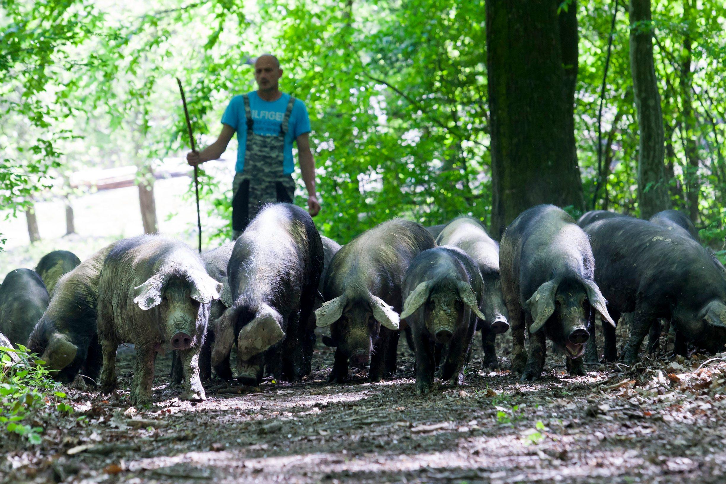 Nakon gotovo 11 godina provedbe mjera za iskorjenjivanje Klasične svinjske kuge u Hrvatskoj ispunjeni su svi uvjeti koji su bili nužni za ukidanje mjera regionalizacije i stjecanje statusa Hrvatske kao zemlje slobodne od te bolesti