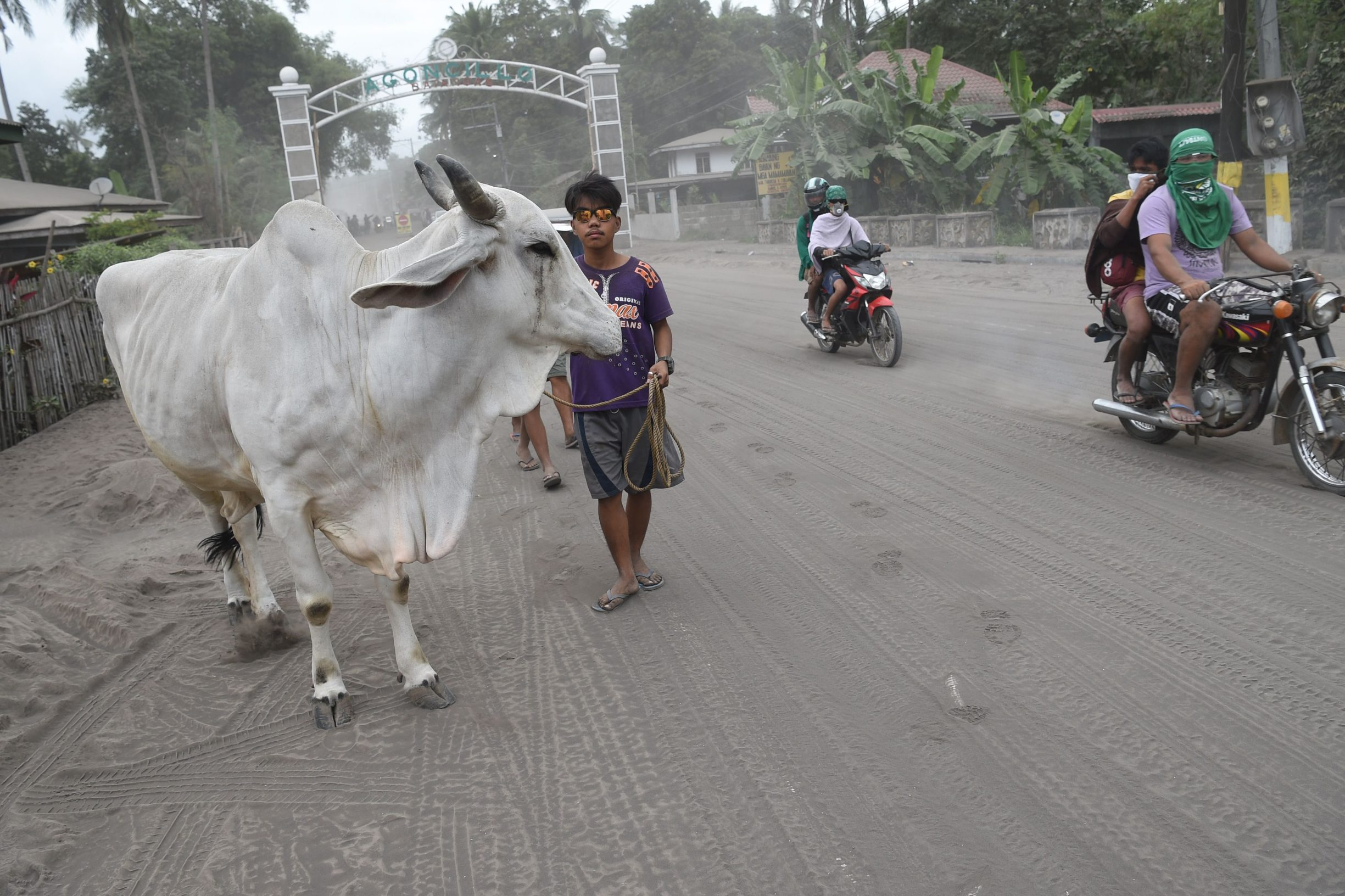 Cattle walk along a volcanic ash-covered road as they are brought to a safer place by their owners in Agoncillo town, Batangas province south of Manila on January 15, 2020. - Philippine authorities were struggling January 15 to keep thousands of evacuees from returning to homes in areas threatened by a feared massive eruption of Taal volcano. (Photo by Ted ALJIBE / AFP)